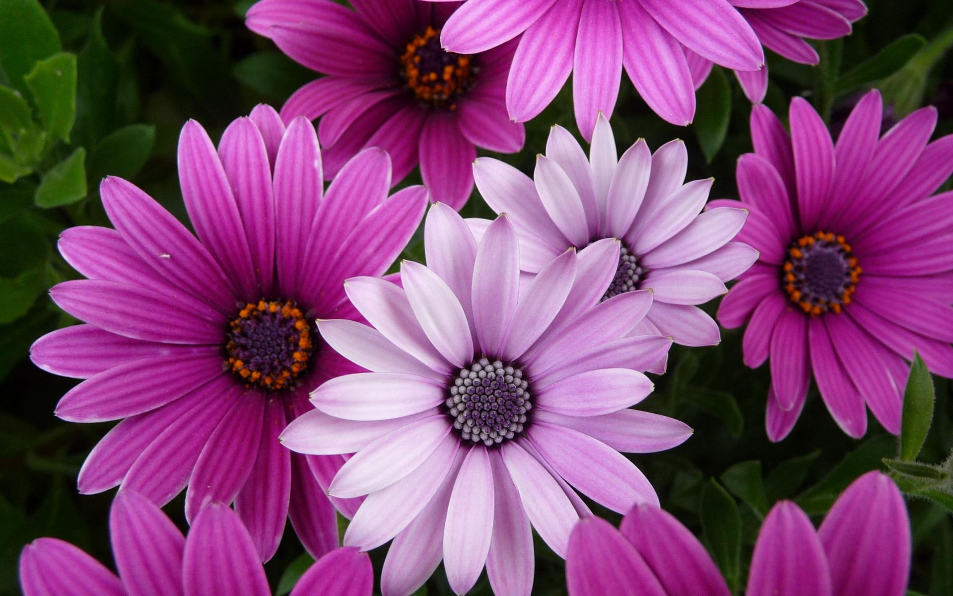 Bright And Dark Purple Flowers 4240172 1920x1200 All For Desktop