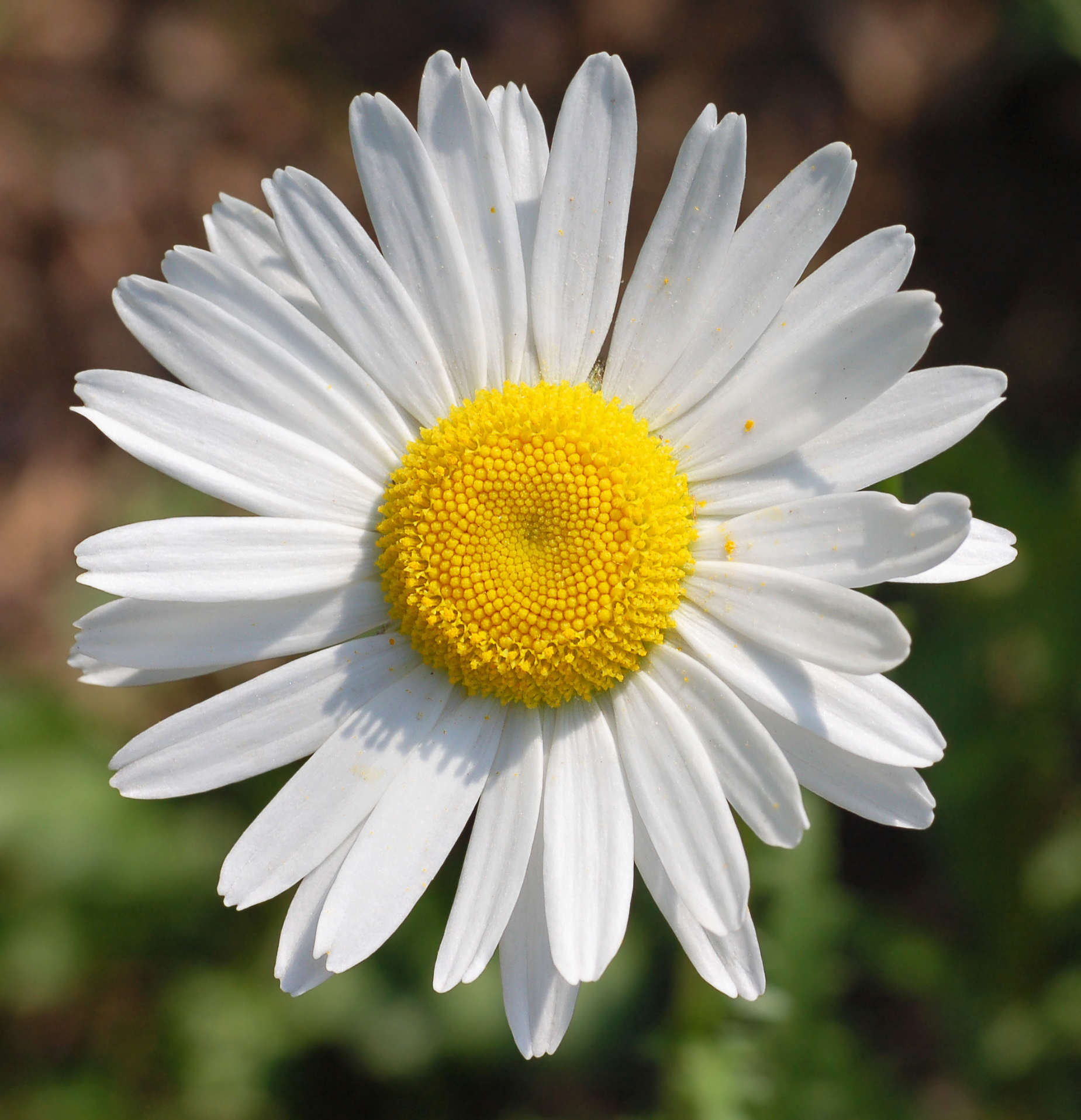 Single Daisy Wallpaper 409.73 Kb