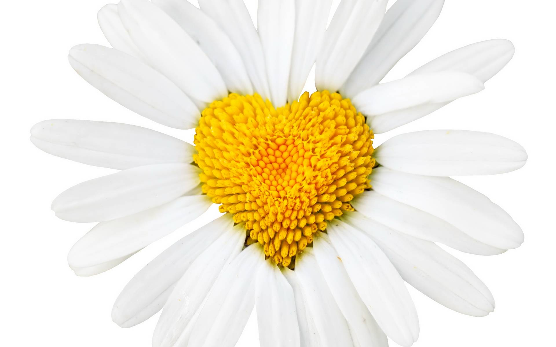 White Daisy with Yellow Heart 409.73 Kb