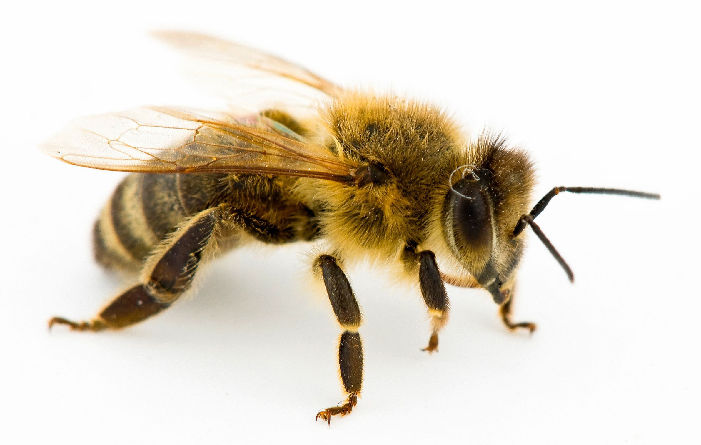 Bee Flying Insect