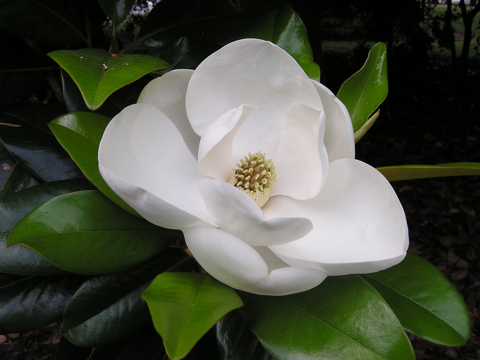 Magnolia Flowering Plant 1032.05 Kb