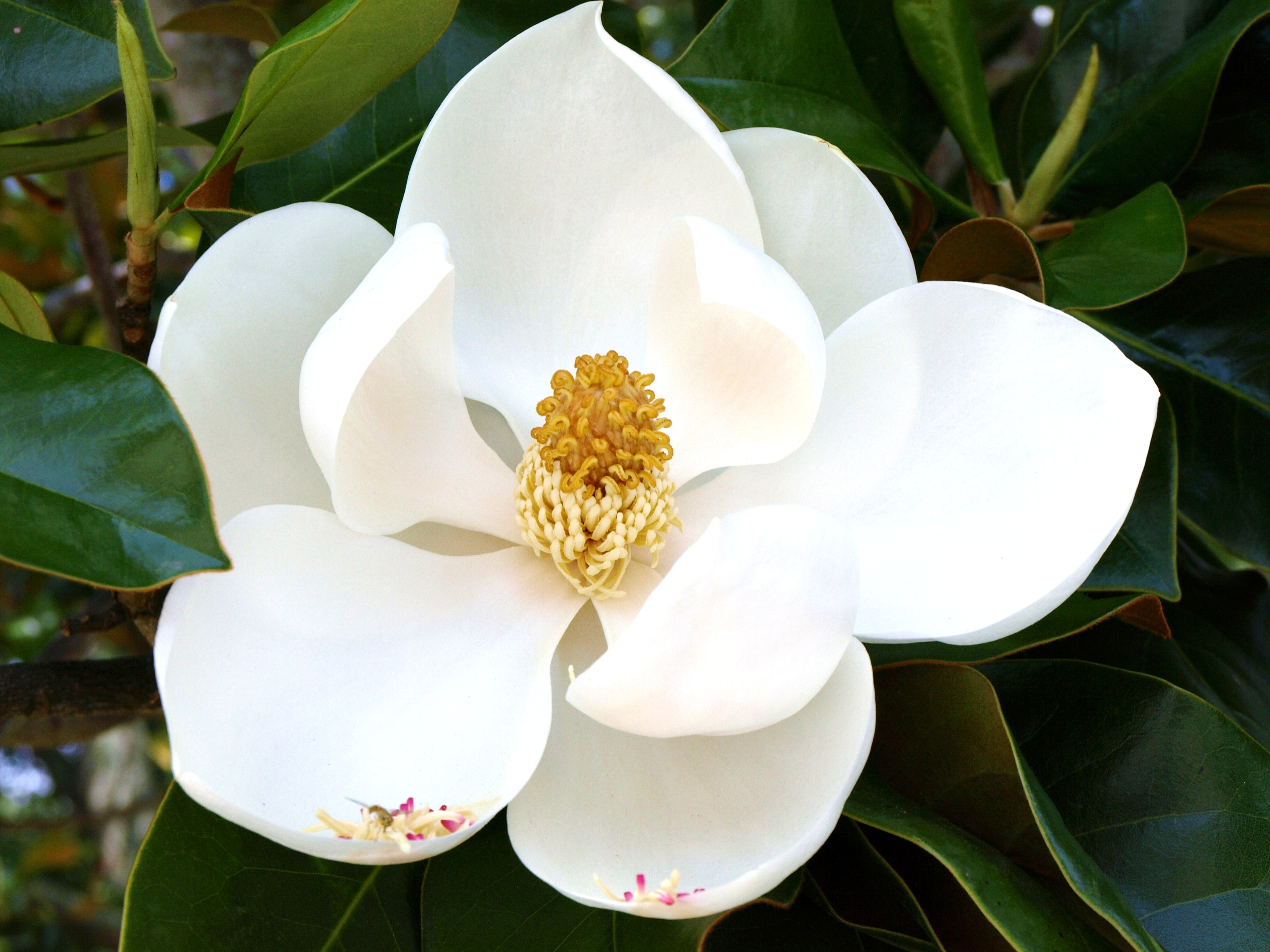 Magnolia White Flower 73.82 Kb