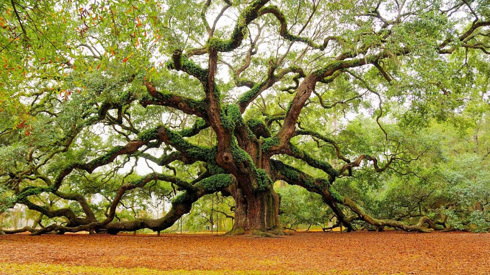 Old Oak Tree