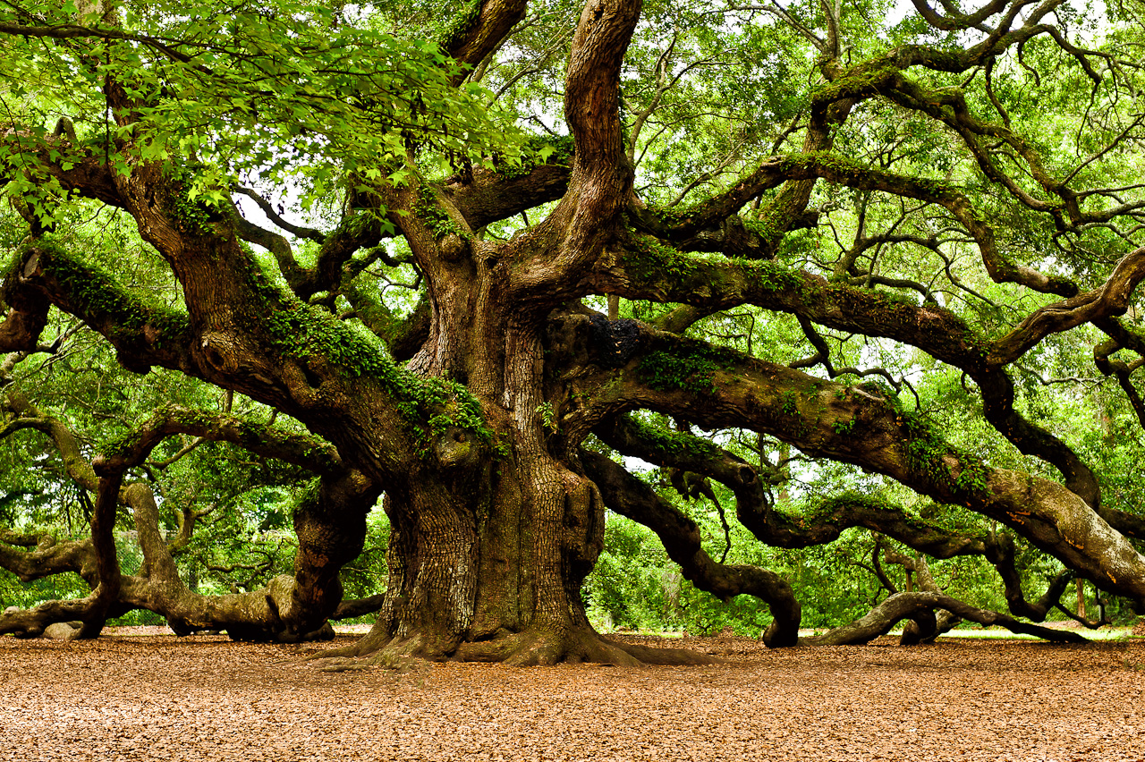 Oak Tree with Wide Branches