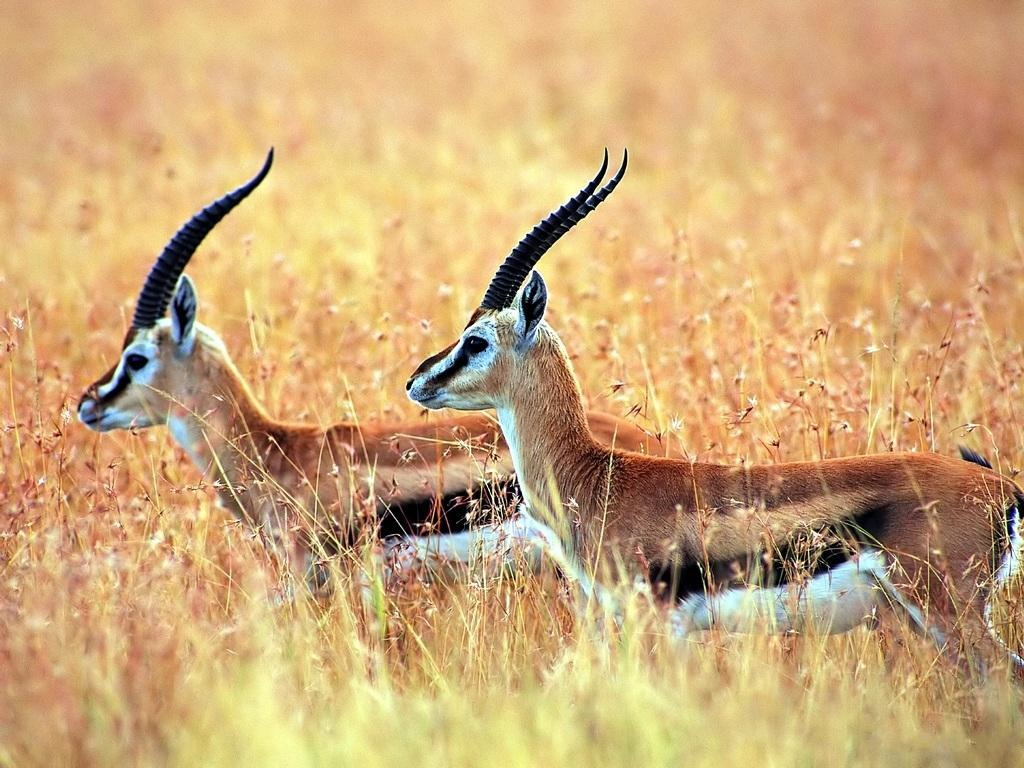 Antelope Even-Toed Ungulate 176.1 Kb