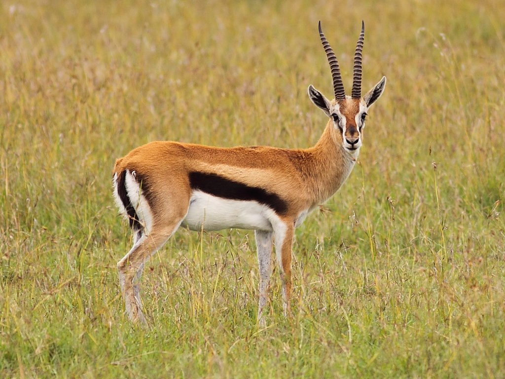 Antelope Common Eland