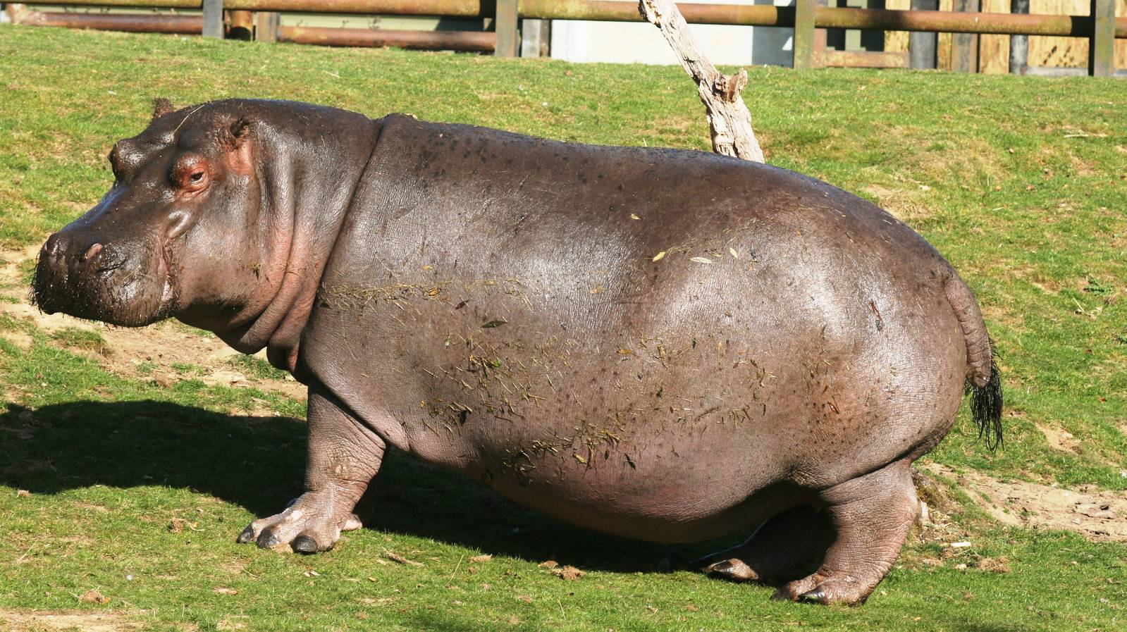 Big Fat Hippopotamus 858.06 Kb