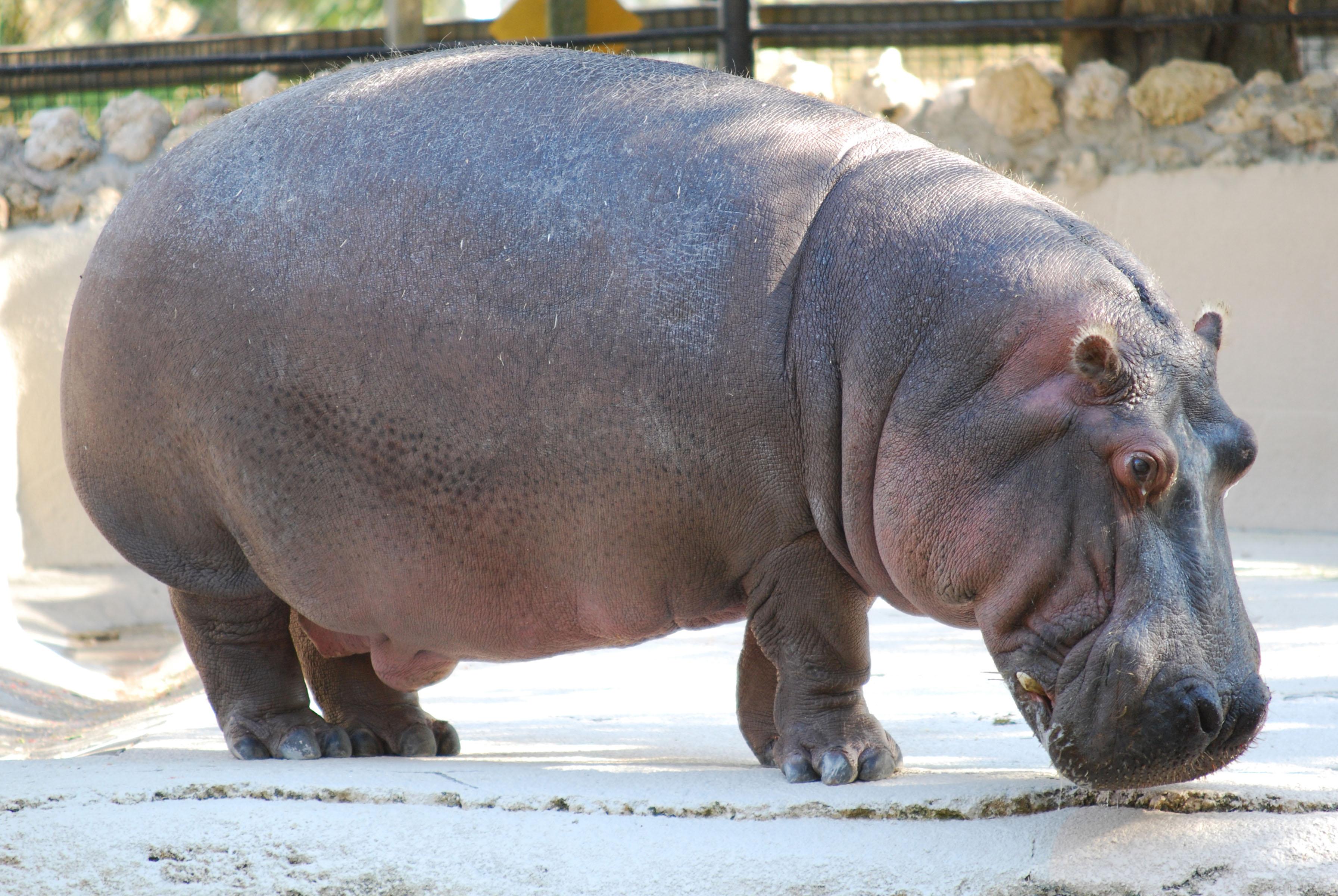Hippopotamus Walking in a Zoo