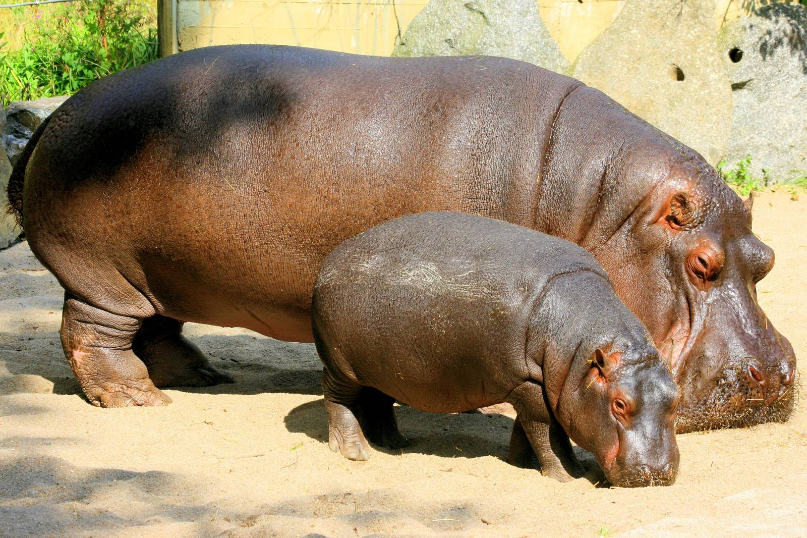 Hippopotamus with a Small Child
