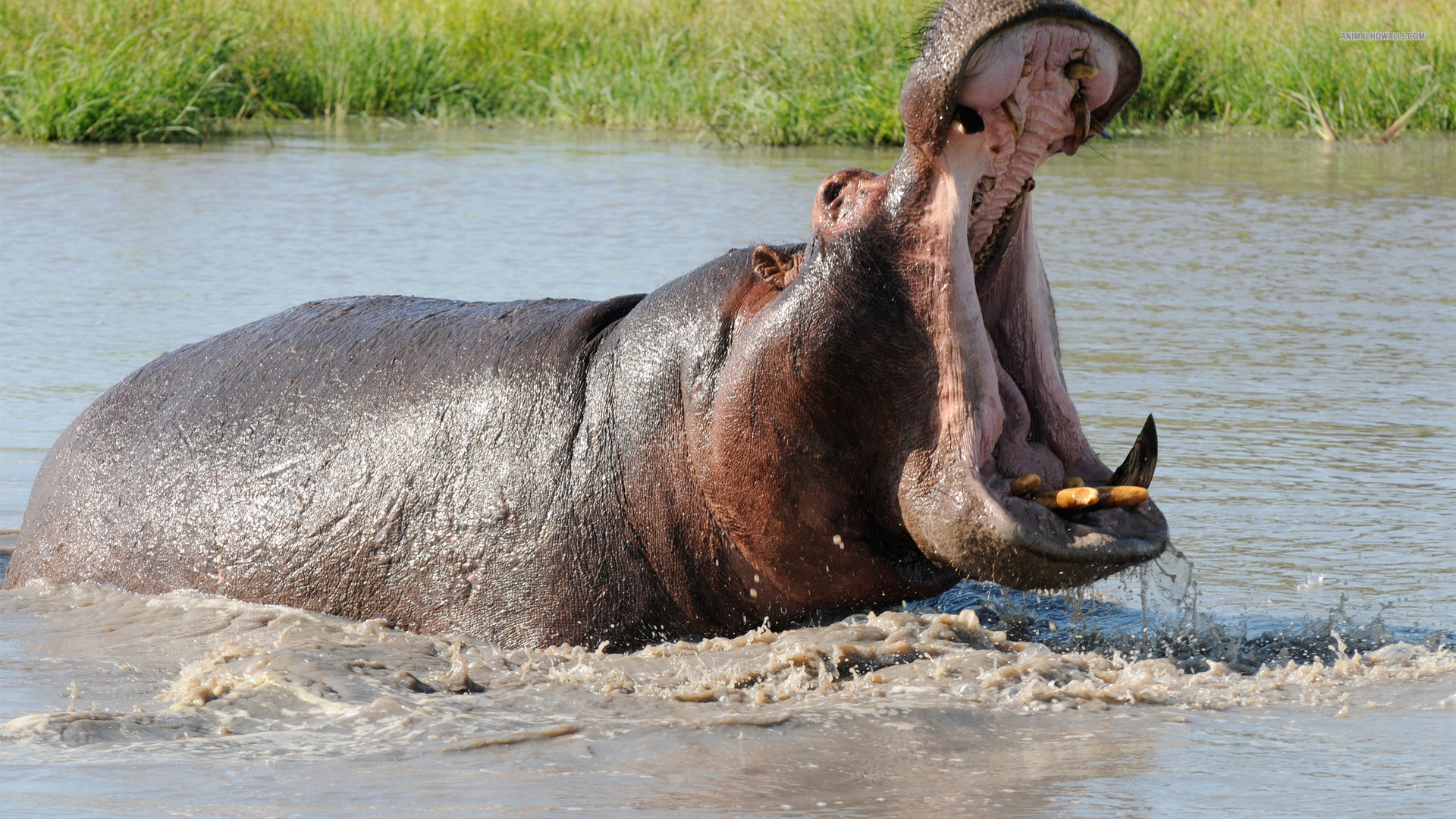 Hippopotamus Yawning in the Water