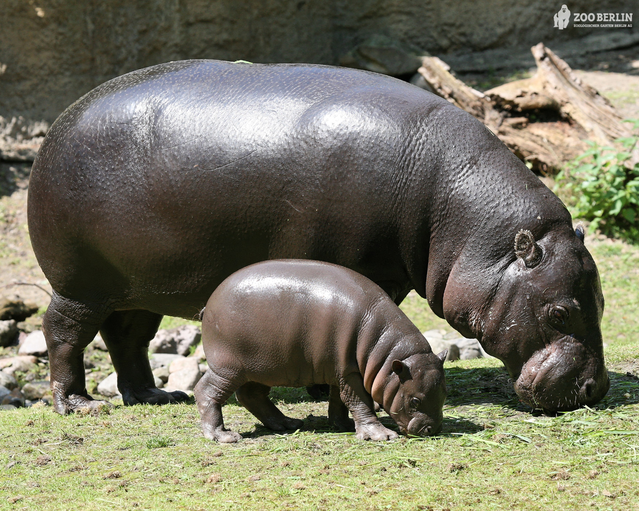 Hippopotamus and a Baby Cub 858.06 Kb