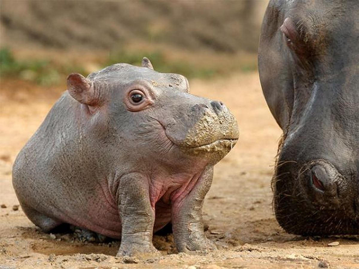 Hippopotamus Baby Leaning to Eat 858.06 Kb