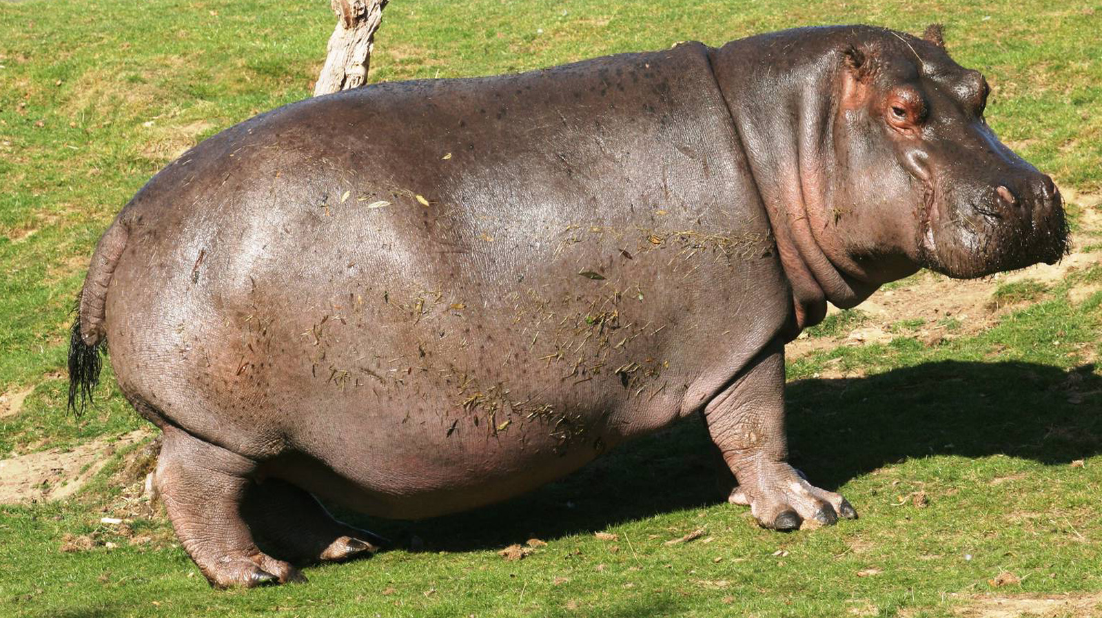 Fat Hippopotamus on a Lawn