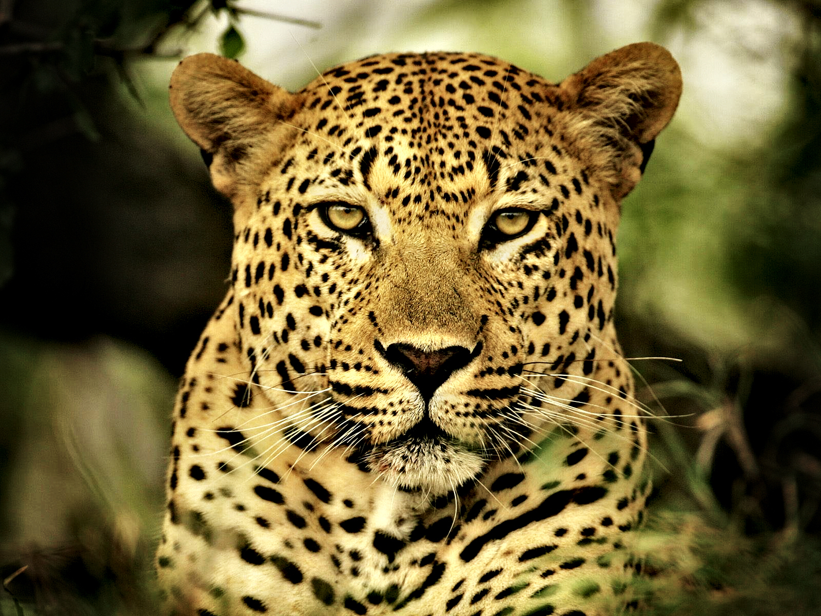 Leopard Calm Look 653.55 Kb