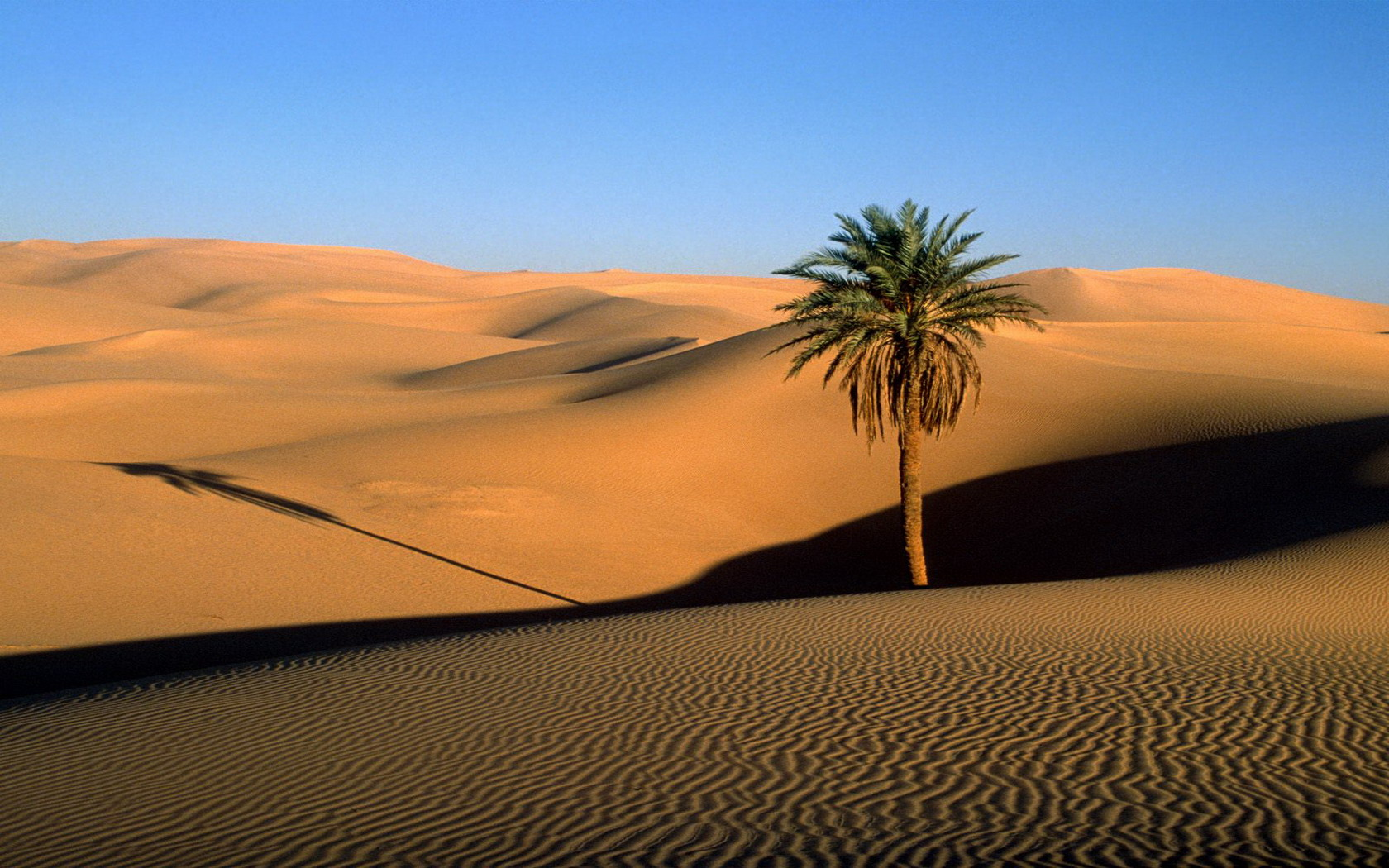Lonely Palm in a Desert 254.2 Kb