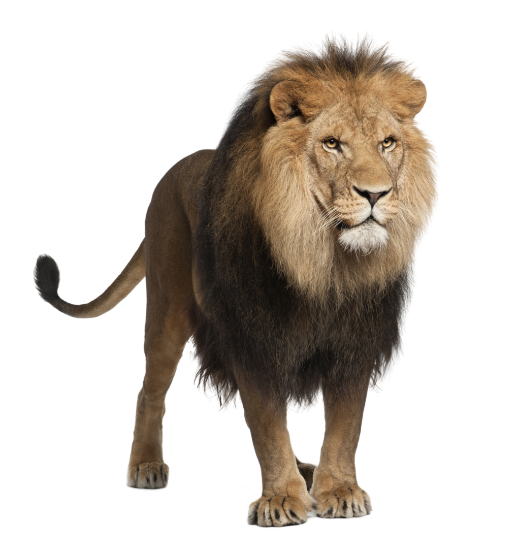 Adult Lion Pose   288.8 Kb