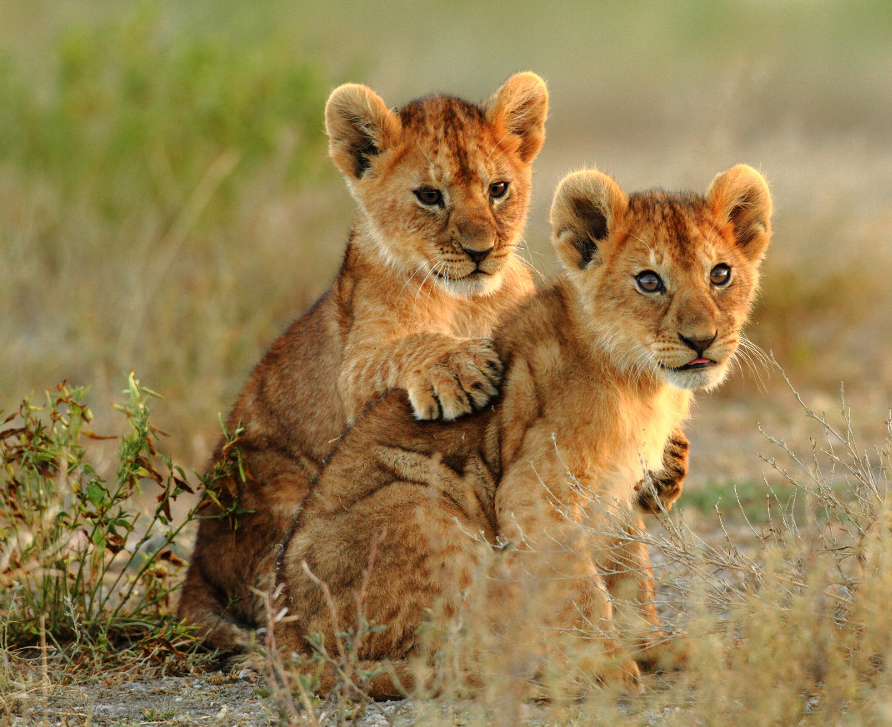 Lion Cubs Playing   2292.69 Kb