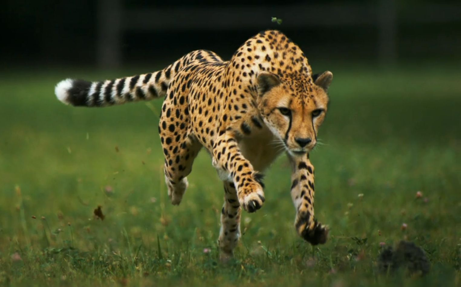 Cheetah Jumping for Prey