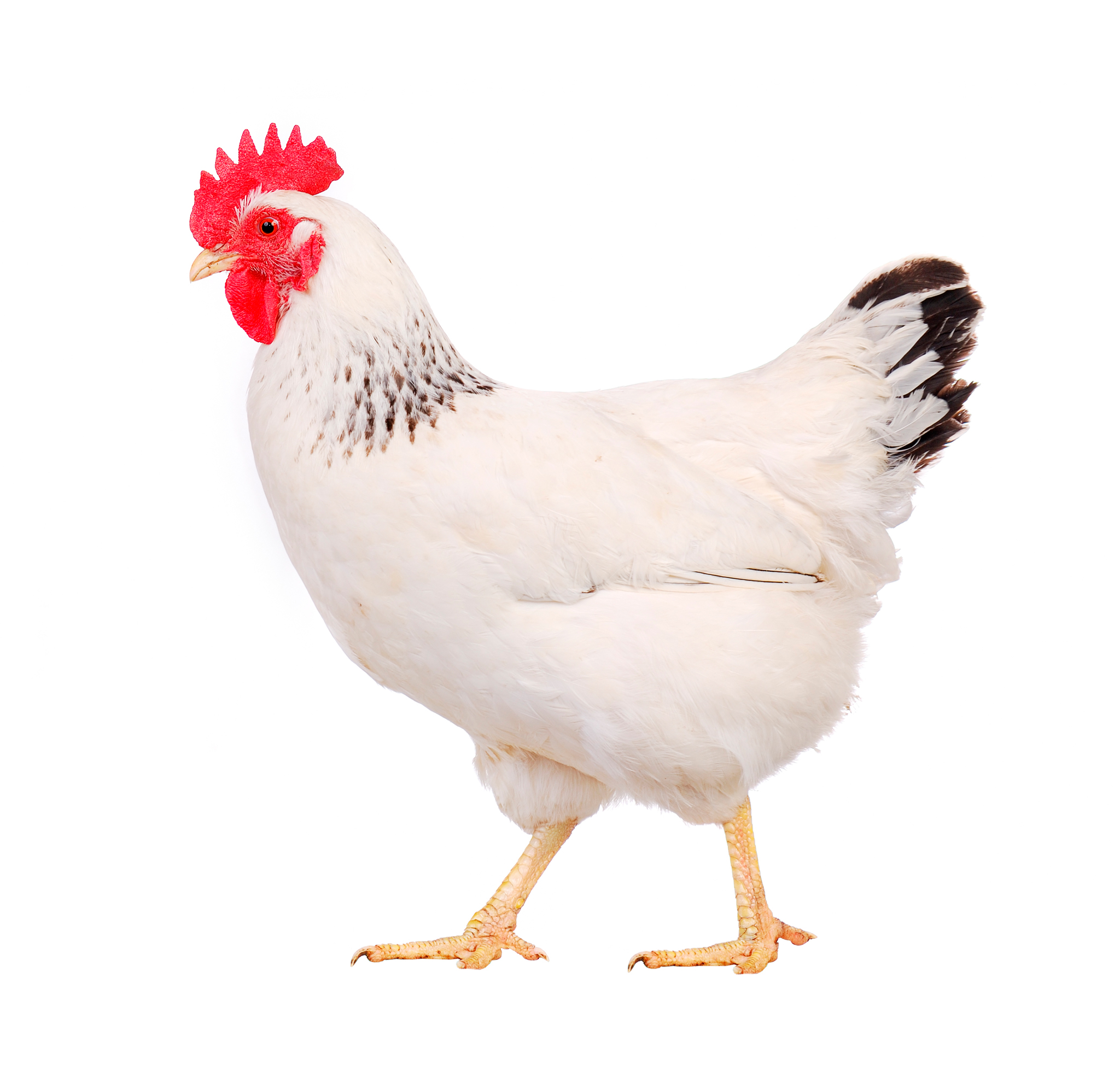 White Chicken Image 1931.45 Kb