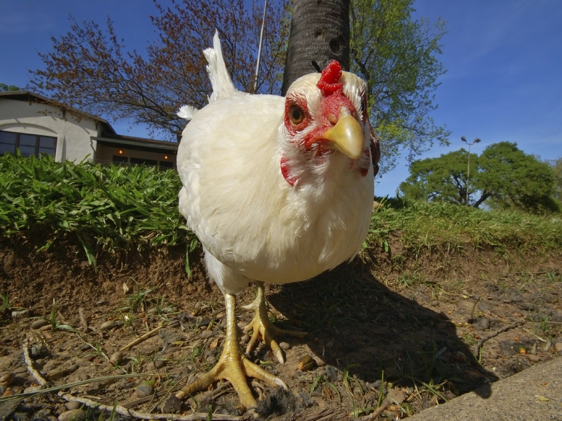 White Curiour Chicken