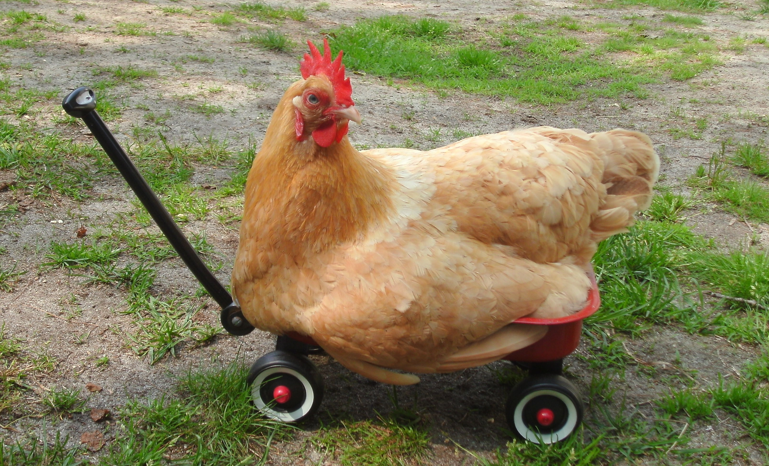 Chicken Having a Ride in a Toy Truck