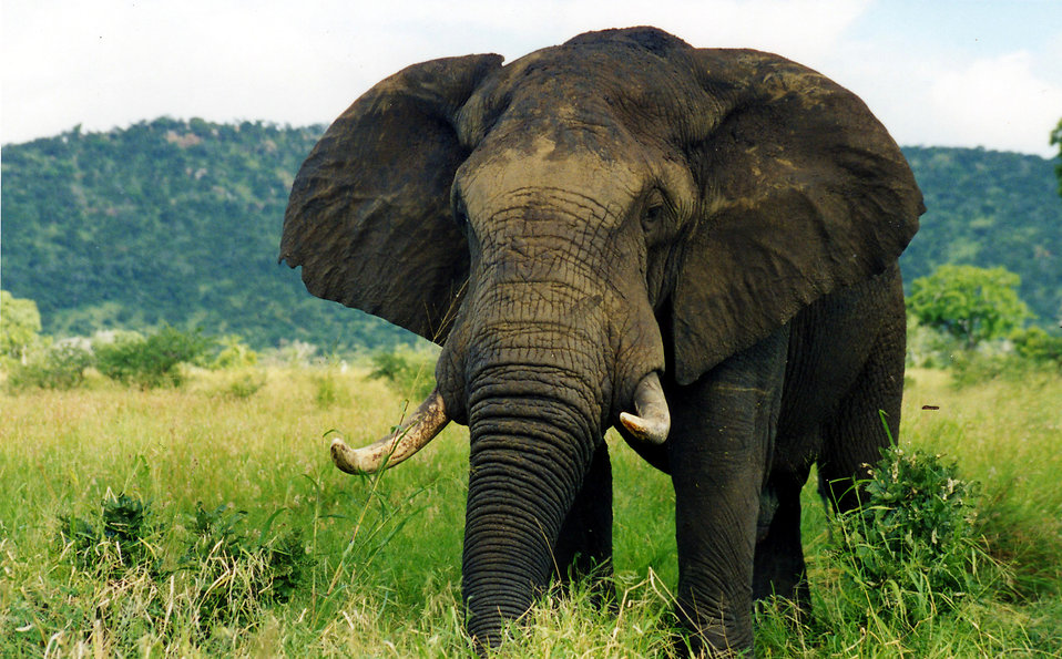 Adult Elephant in the Nature