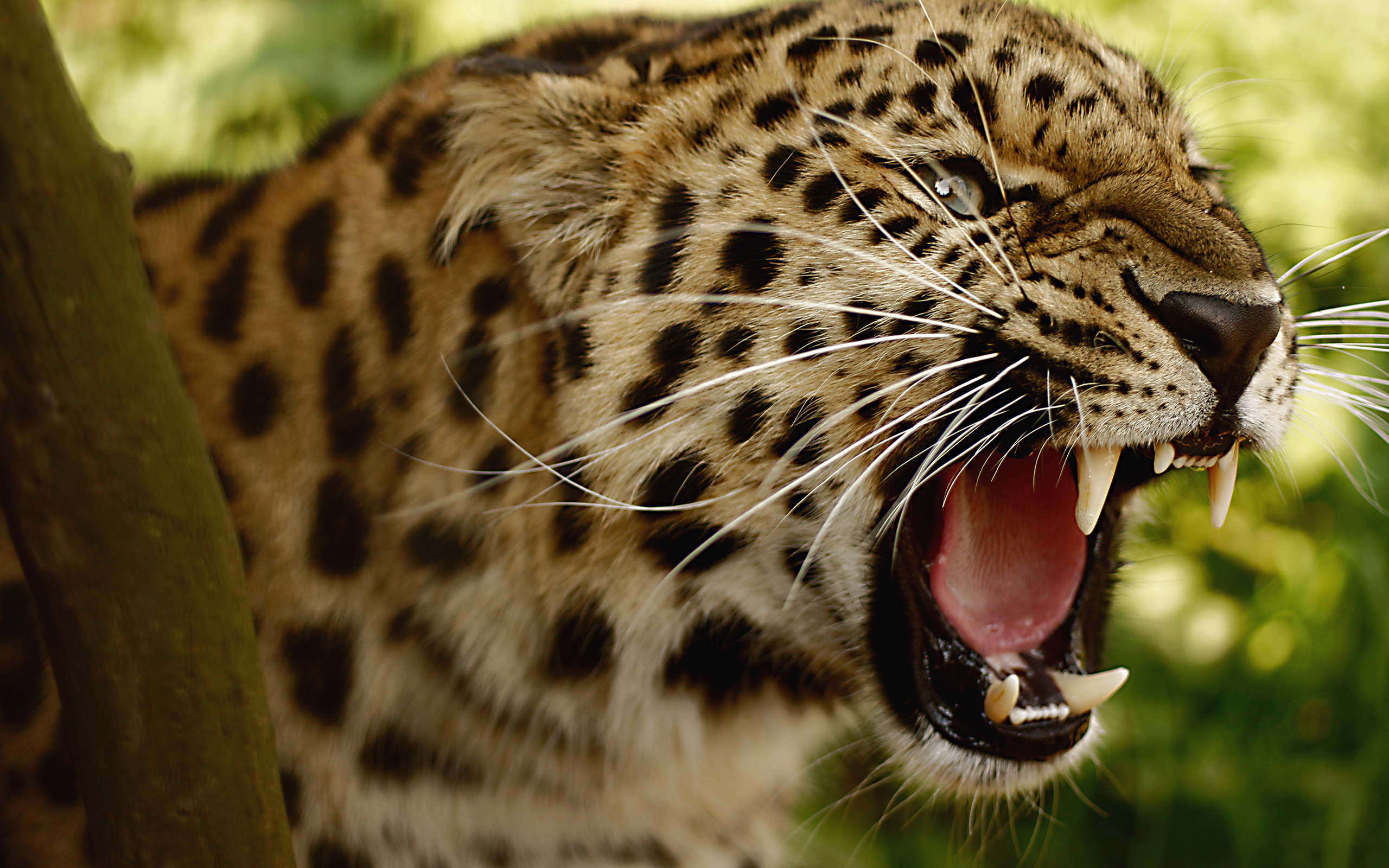 Fierce Jaguar Grin 1053.02 Kb