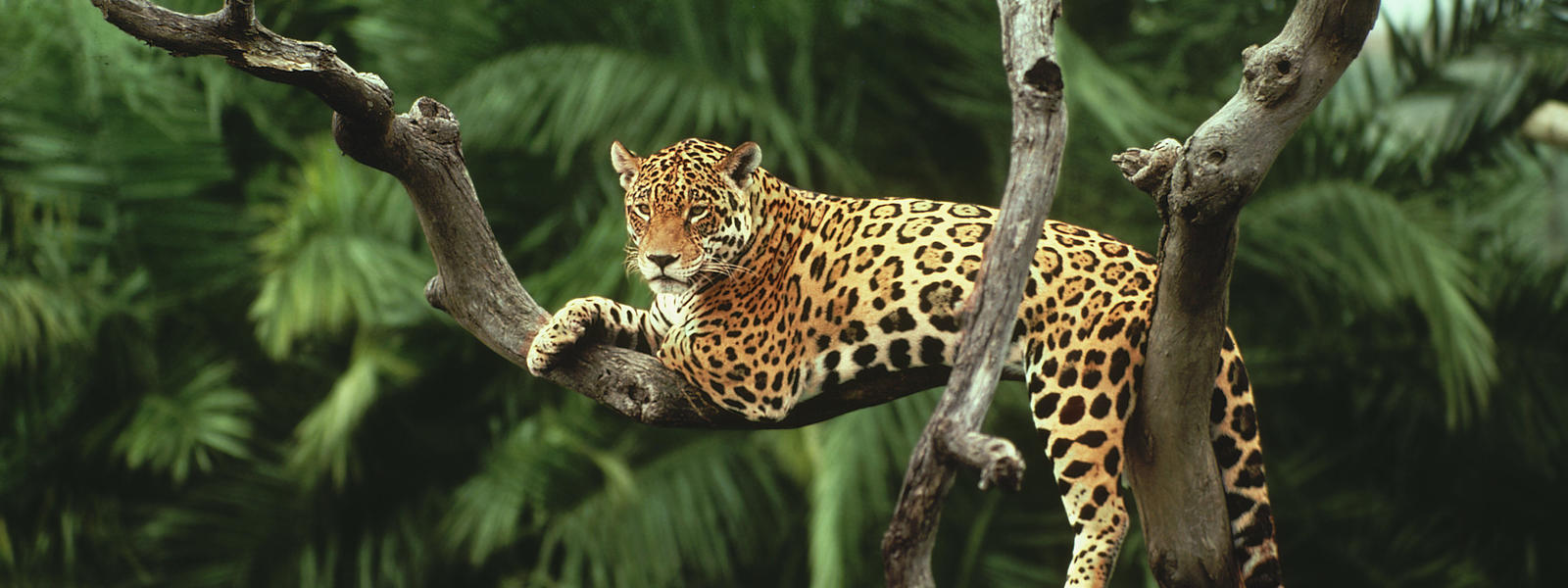 Jaguar Rests on a Tree 3694.72 Kb
