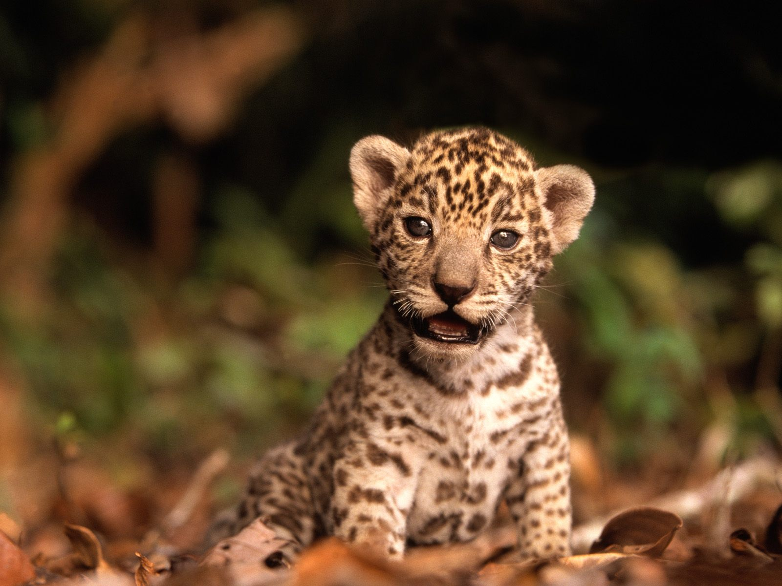 Cute Small Baby Jaguar 3694.72 Kb