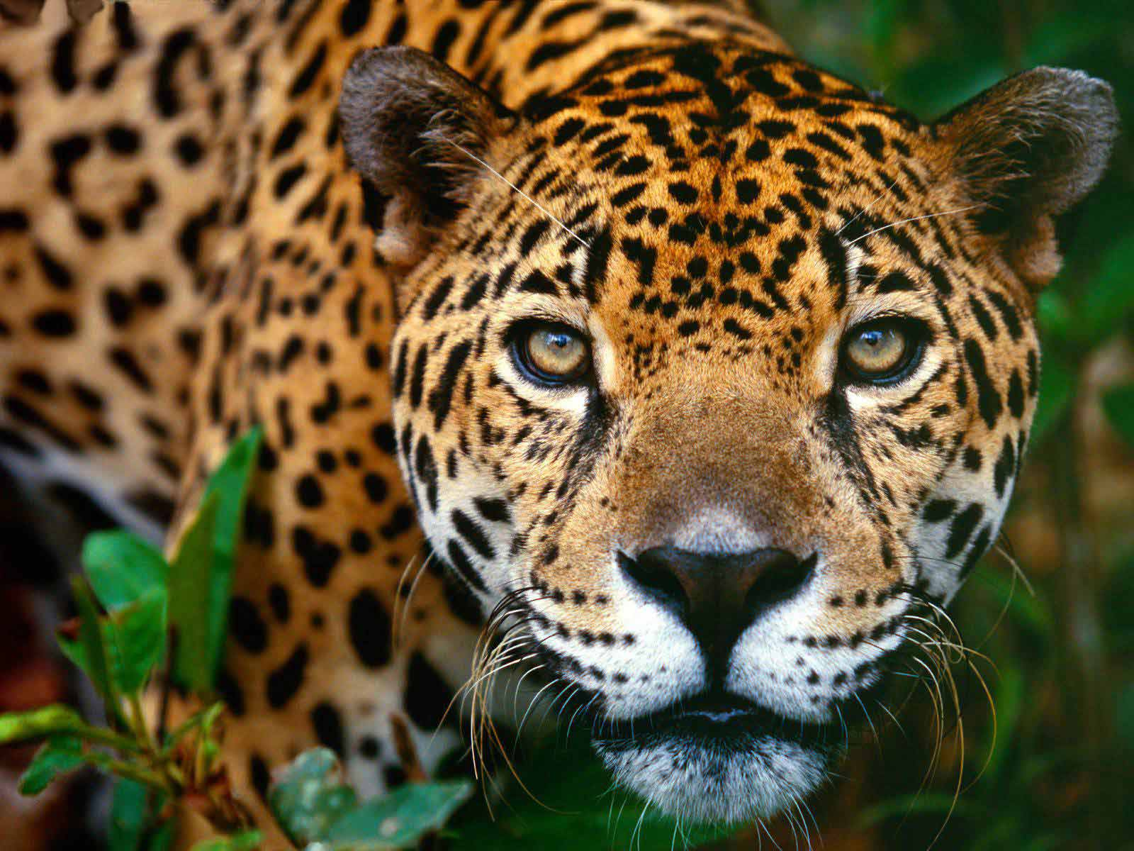 Jaguar Face Close Look 3694.72 Kb