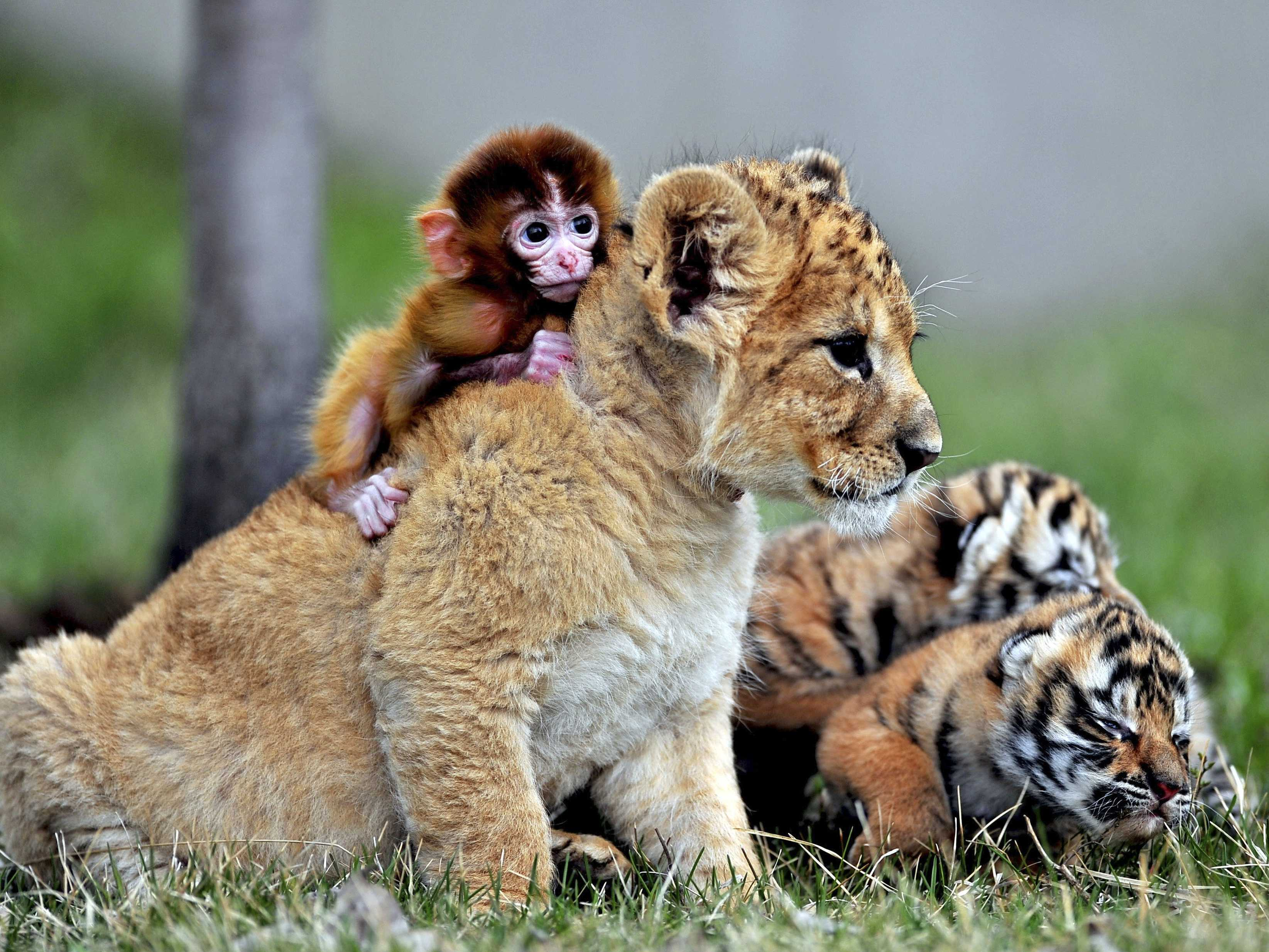 Monkey, Lion and Tigers Baby Animals 71.47 Kb