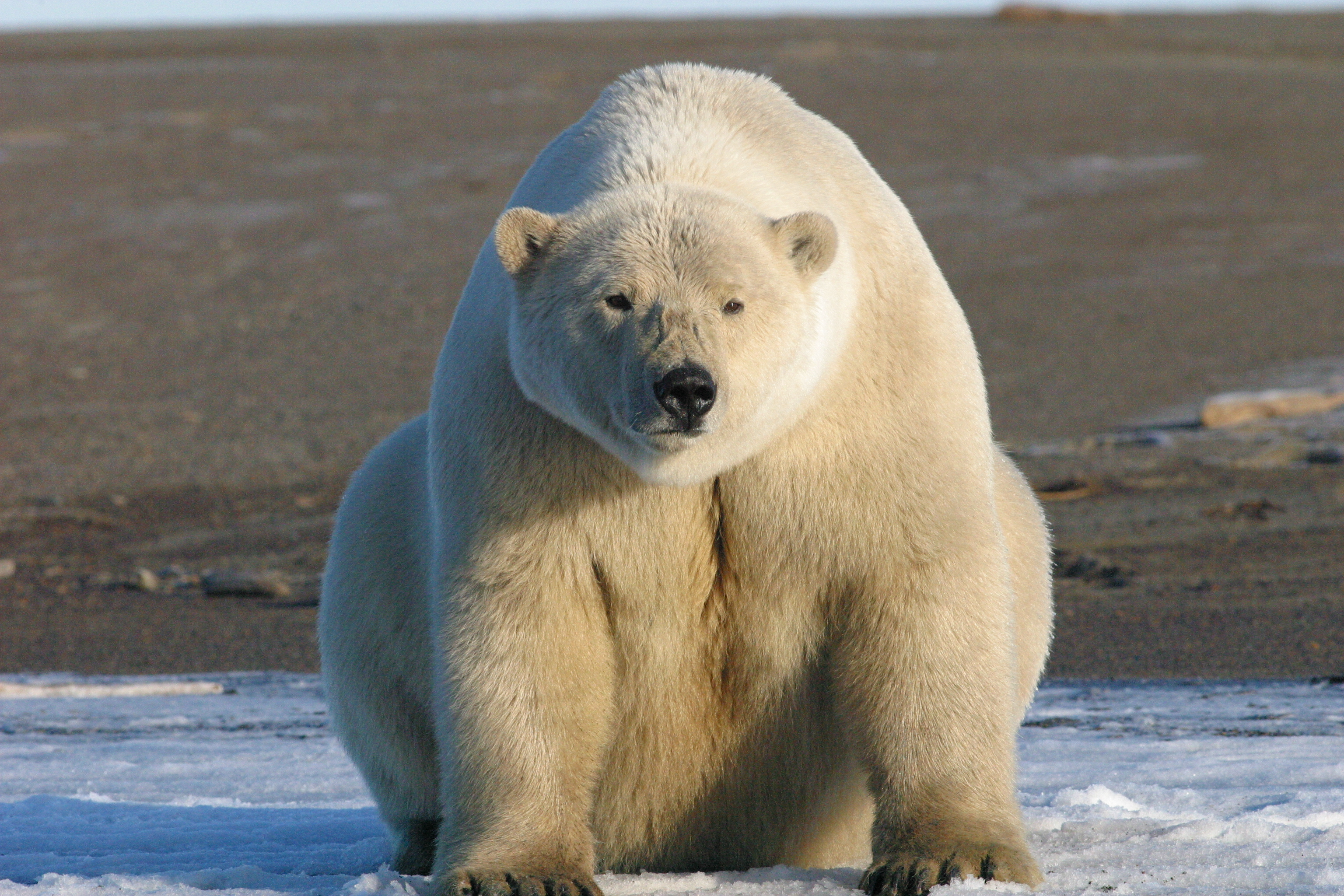 Animals of North Pole, Polar Bear 71.47 Kb