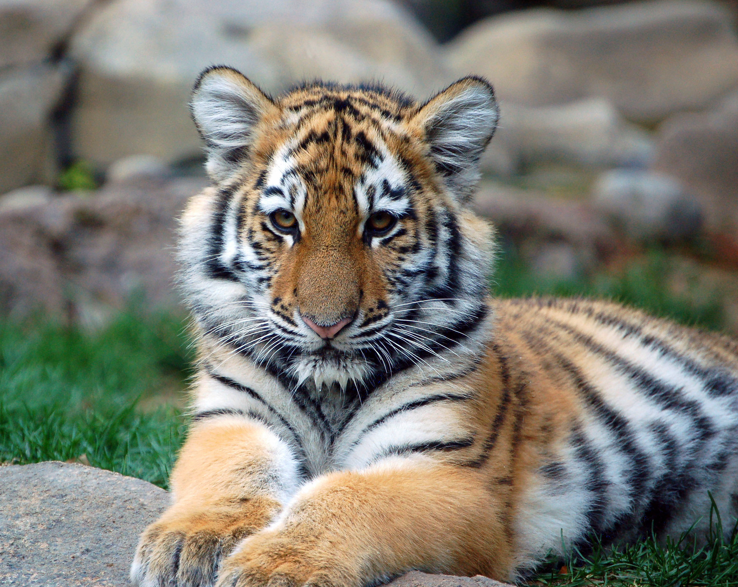 Small Animals, Tiger Wallpaper 71.47 Kb