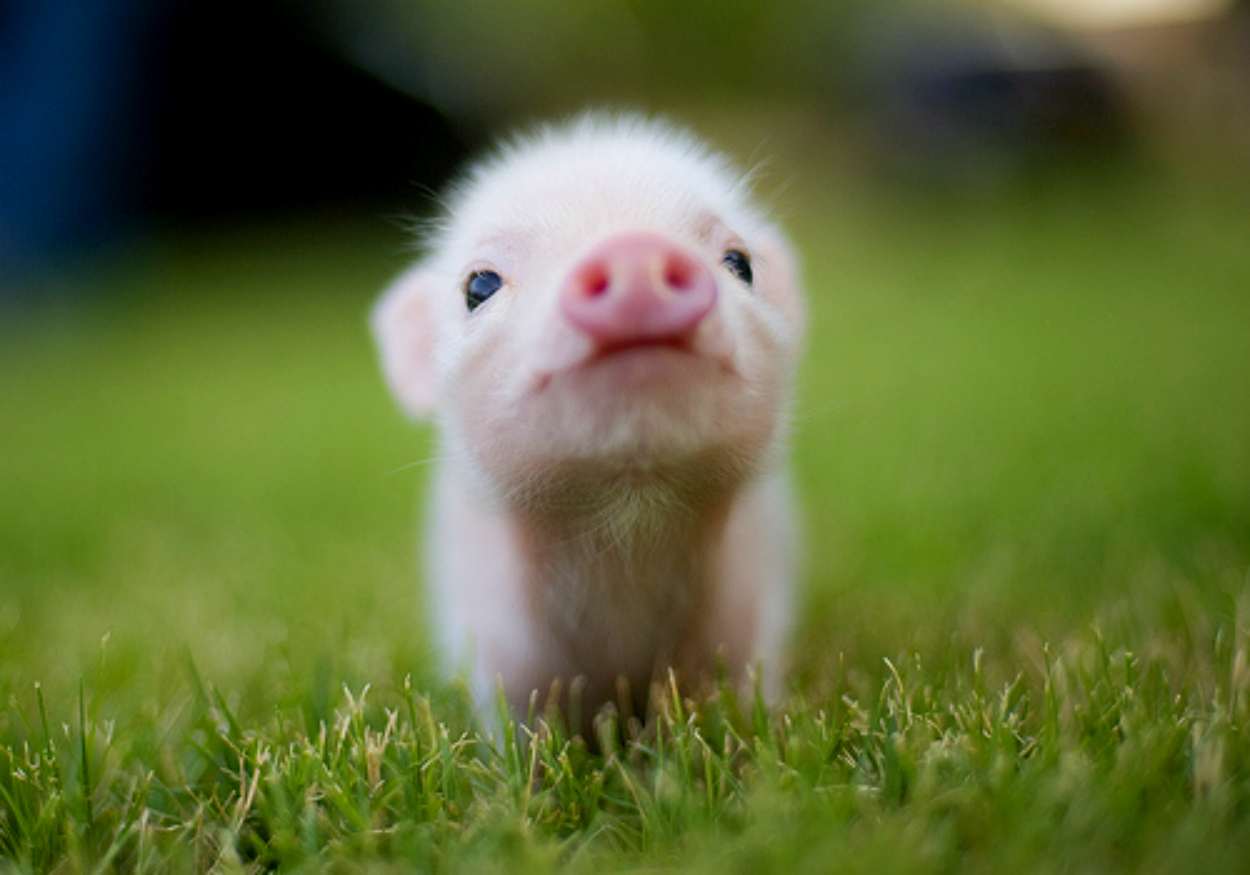 Tiny Animals, Cute Pig