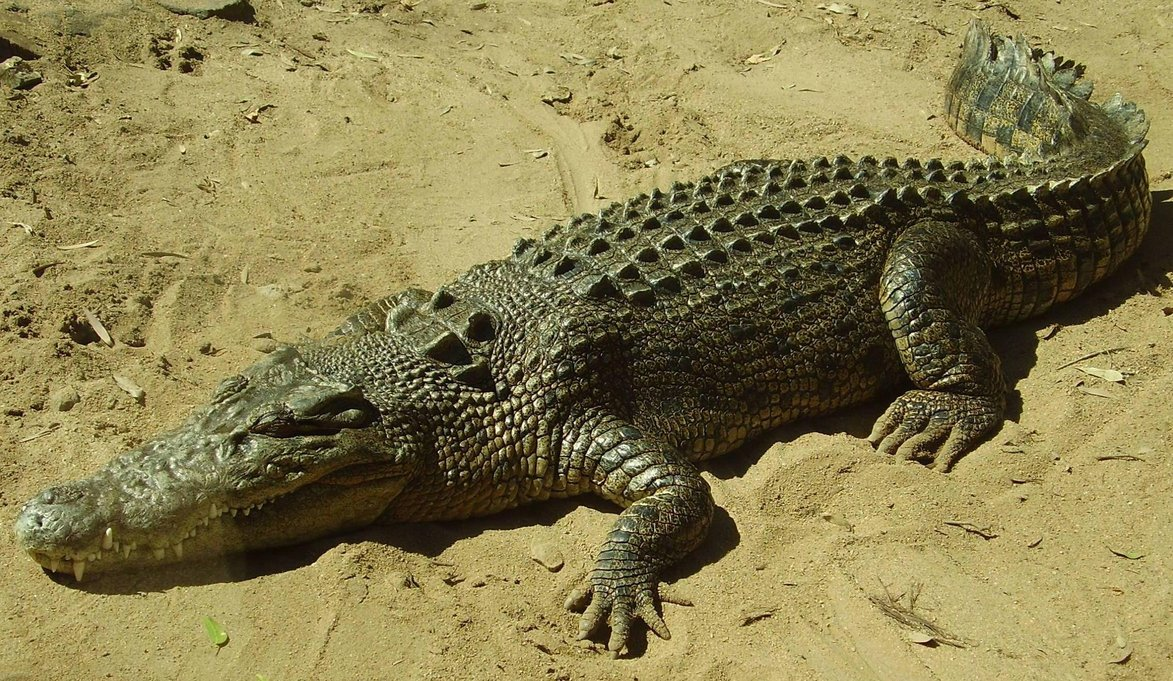Crocodile Resting on Sand