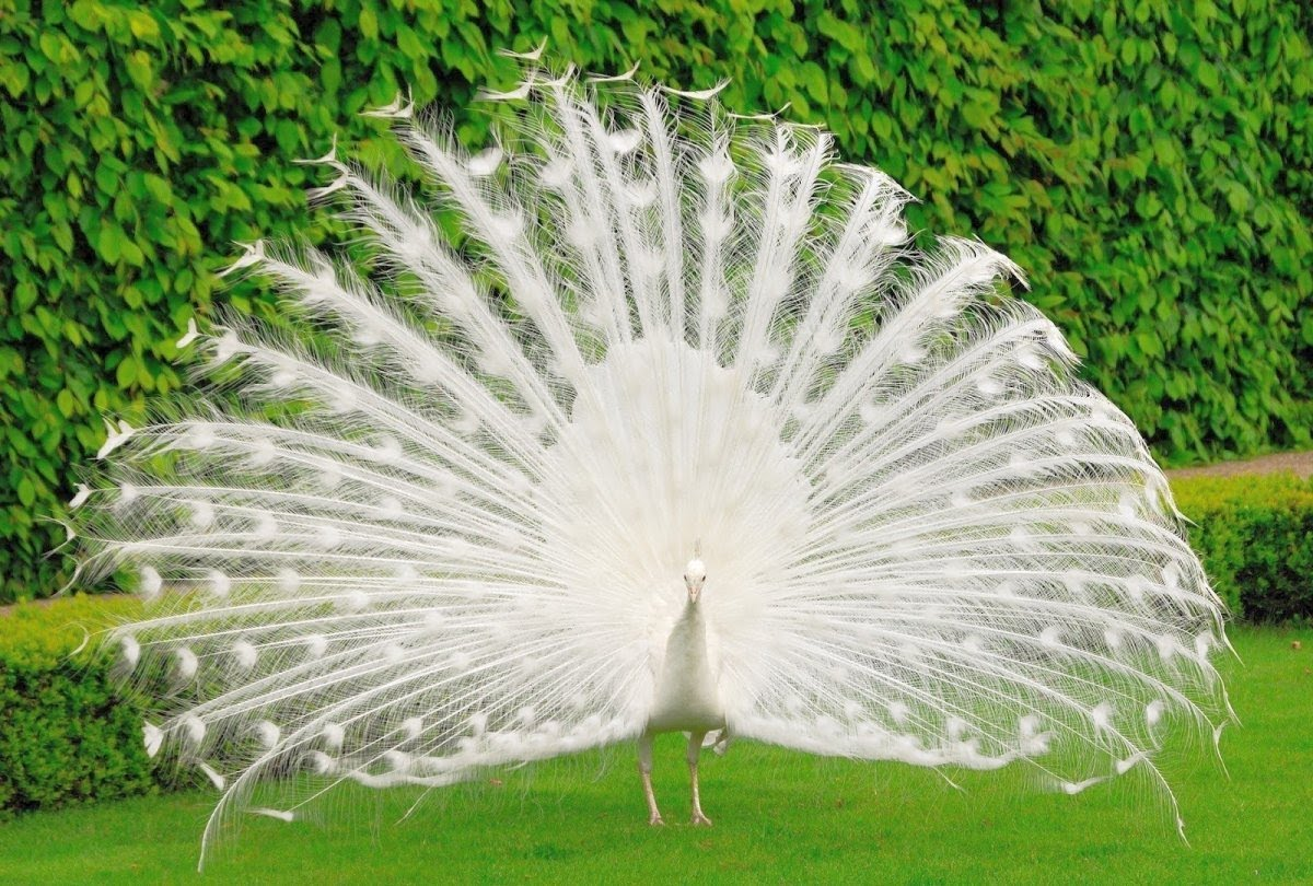 Peacock White Tail