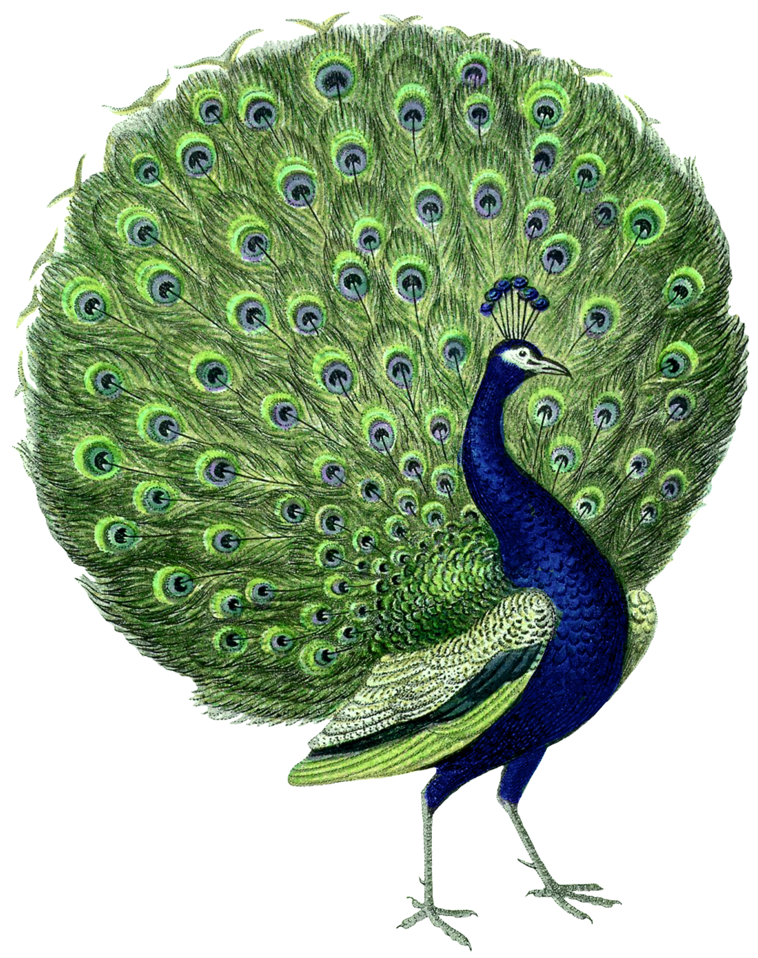 Male Peacock with Unfolded Tail