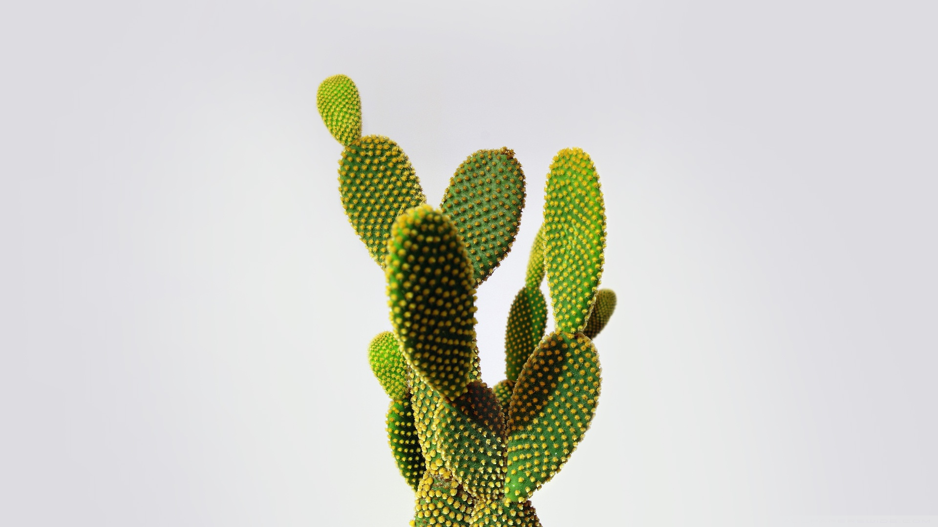Interesting Shape of Cactus Leaves 116.26 Kb