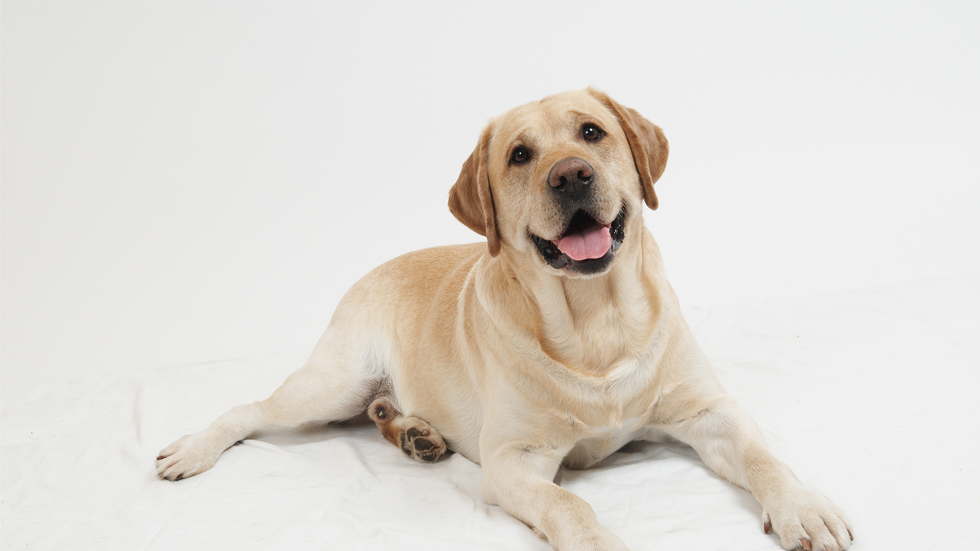 Adult Labrador Dog