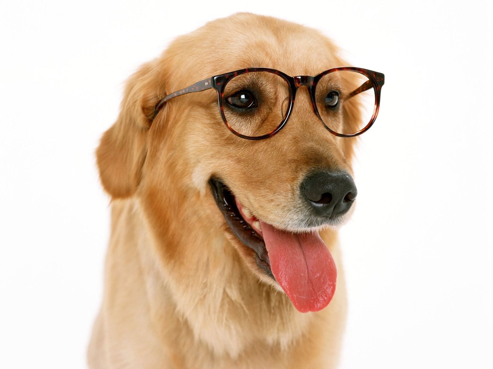 Labrador Dog Wearing Glasses