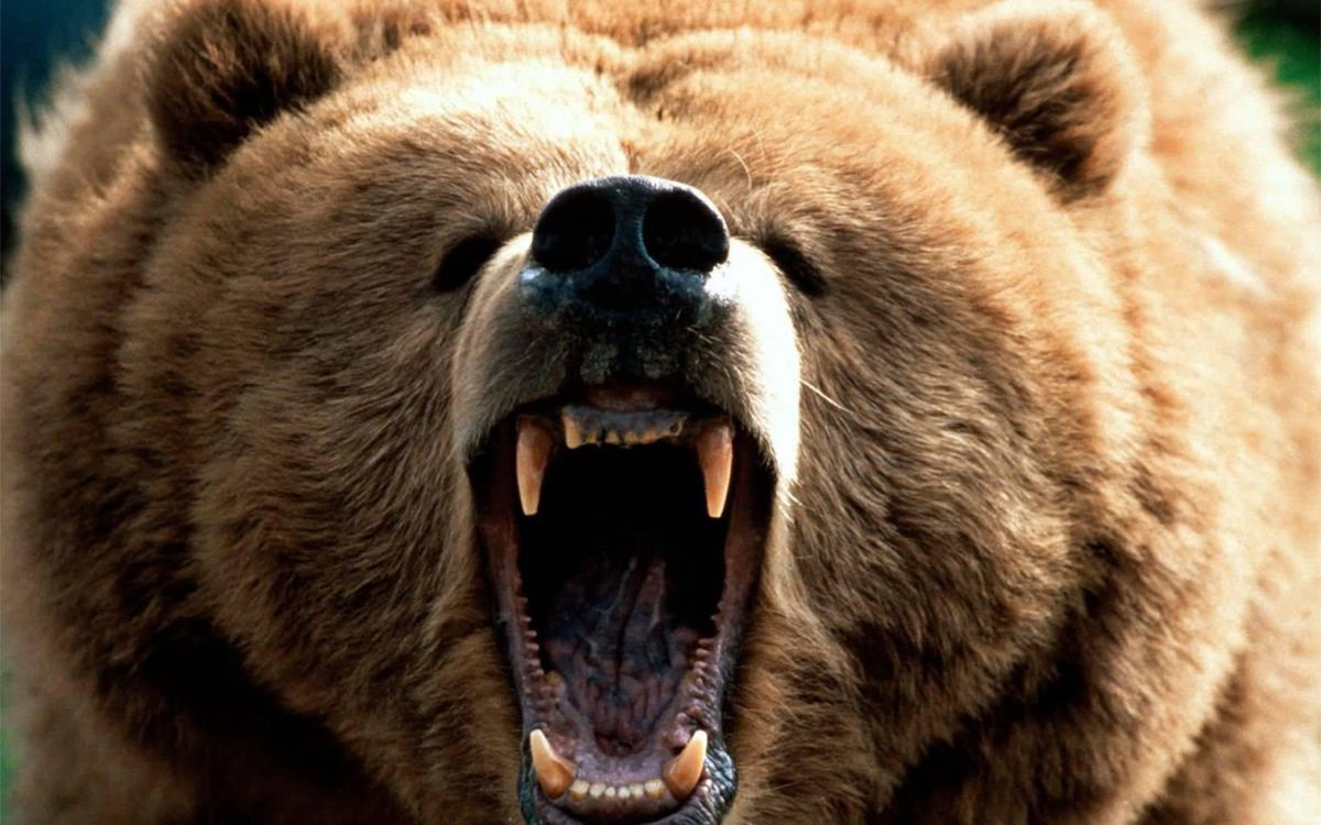 Bear Bear Showing Teeth