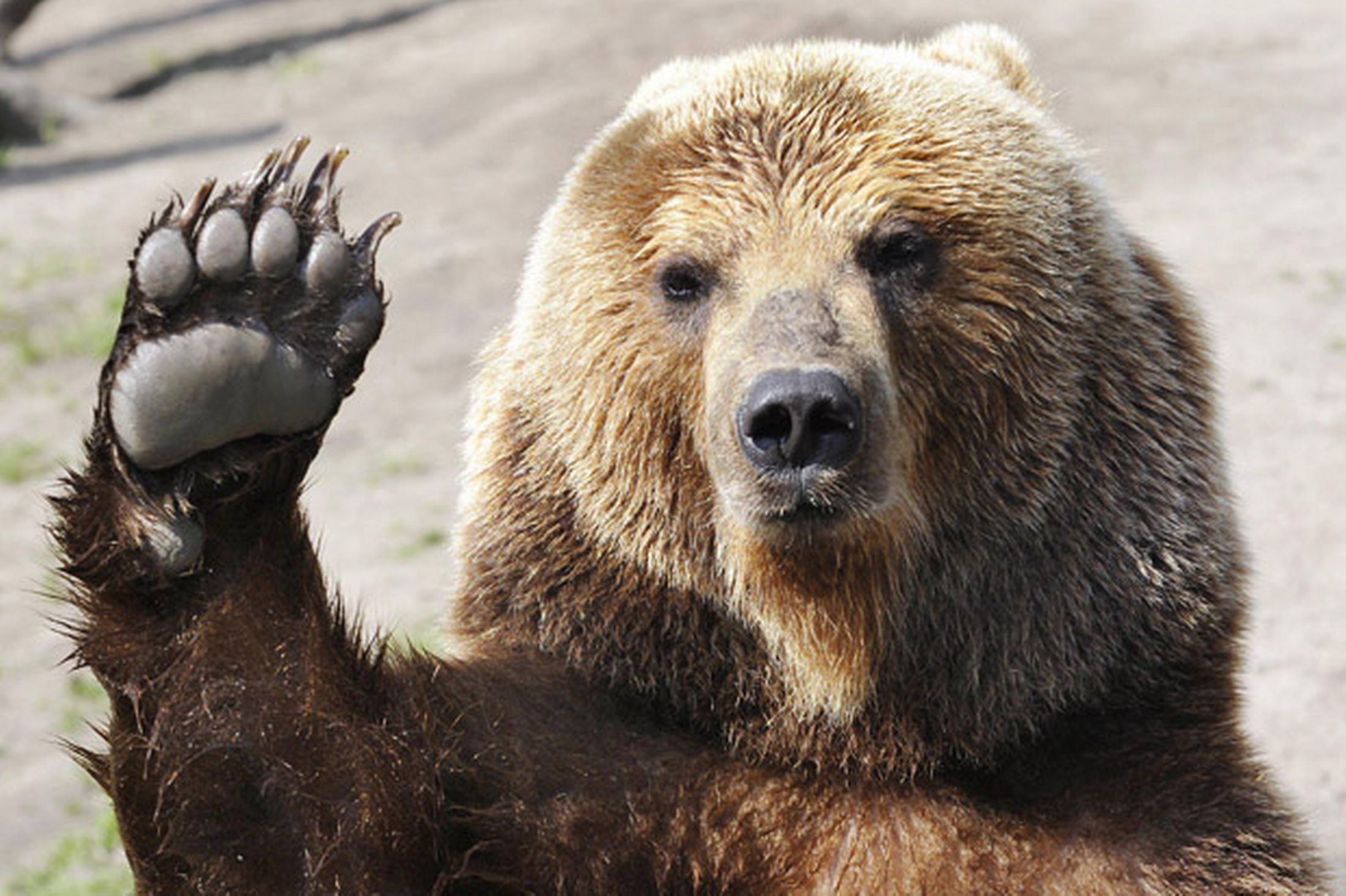 Brown Bear Showing High Five