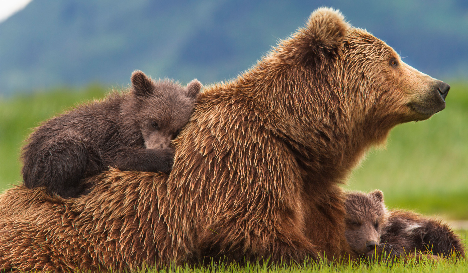 Brown Bear Family Rest
