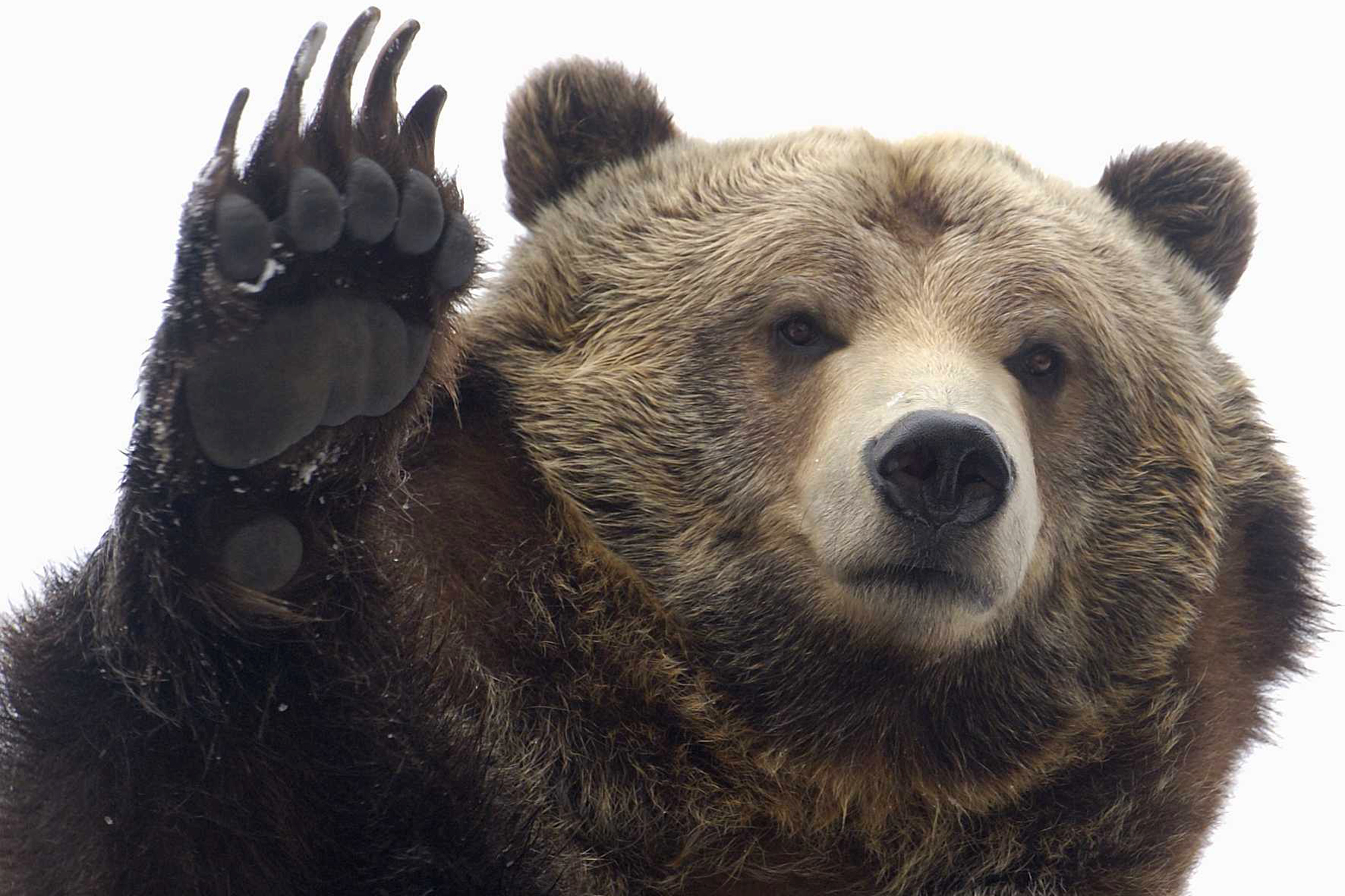 Bear Gives High Five