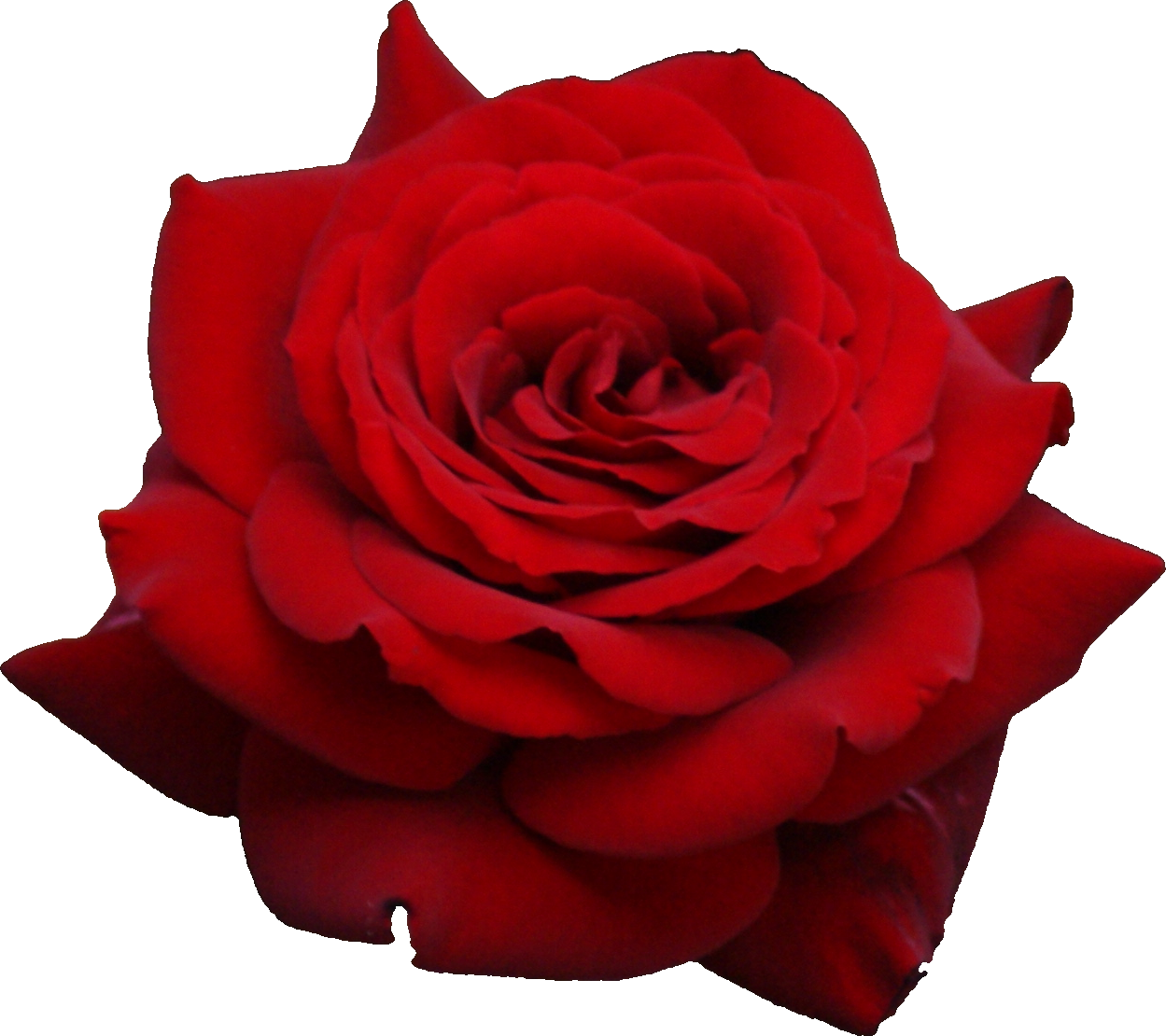 Red Rose with Velvel Petals