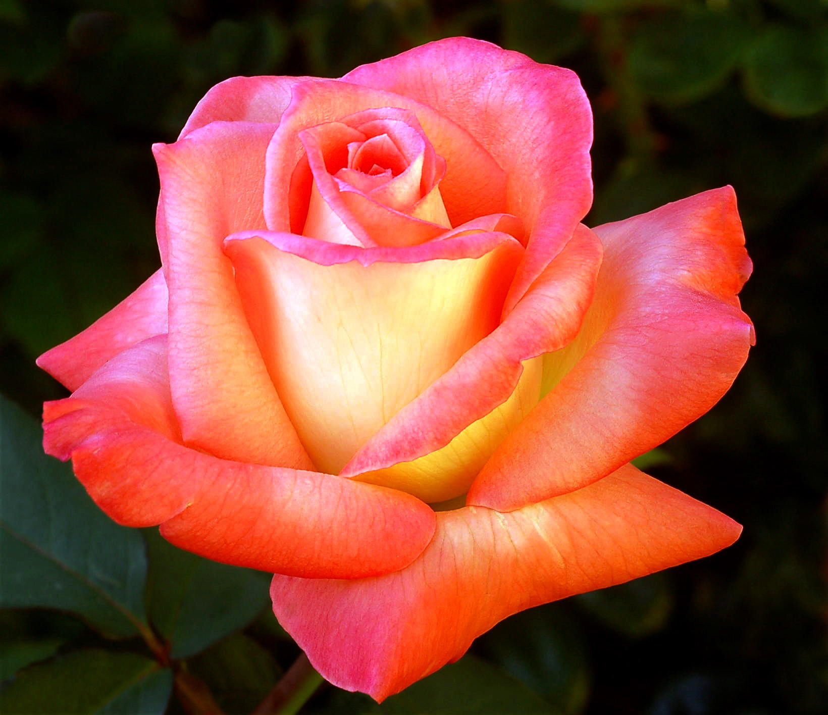 Pinkish Yellow Rose