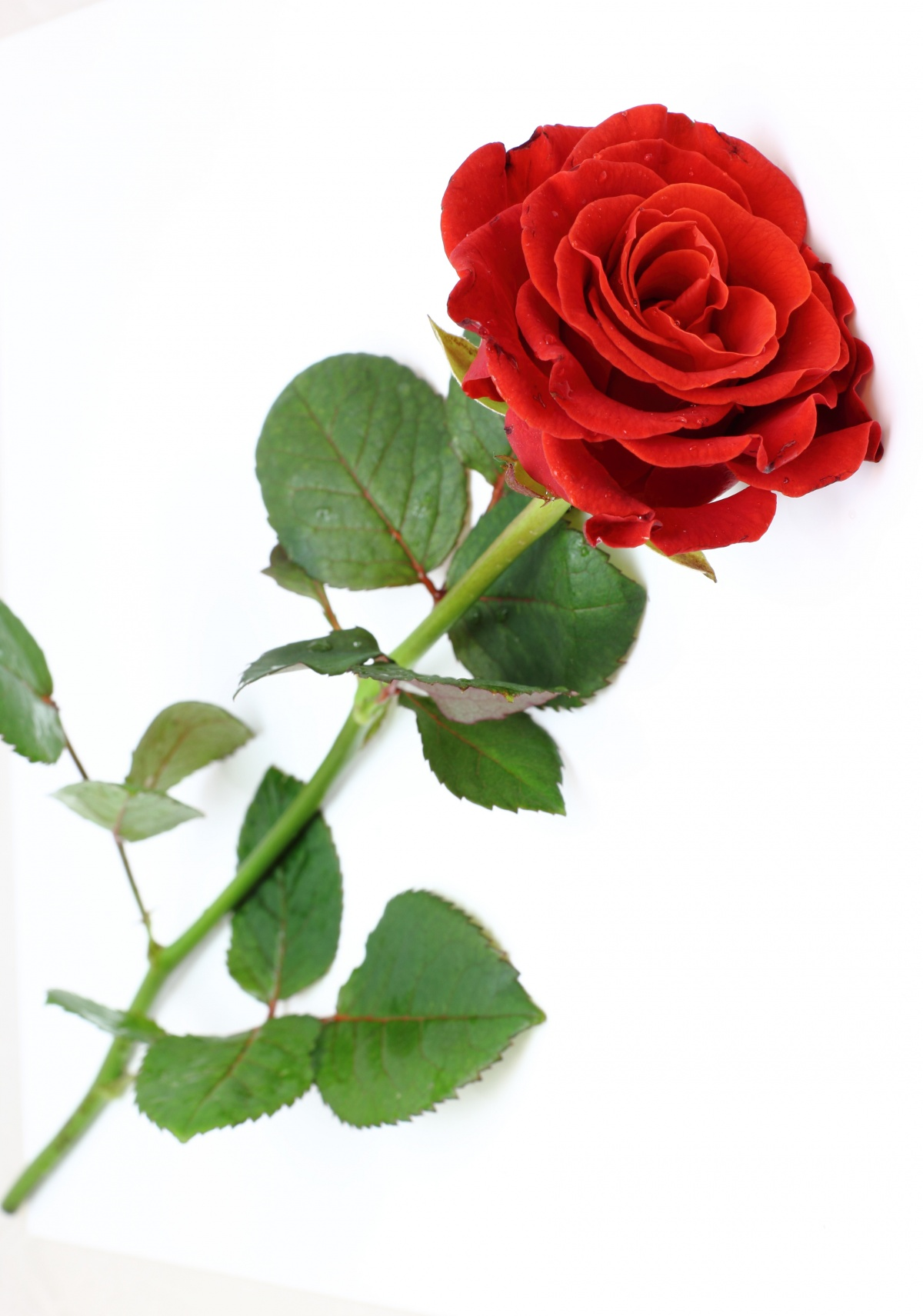 One Red Rose on a Stem