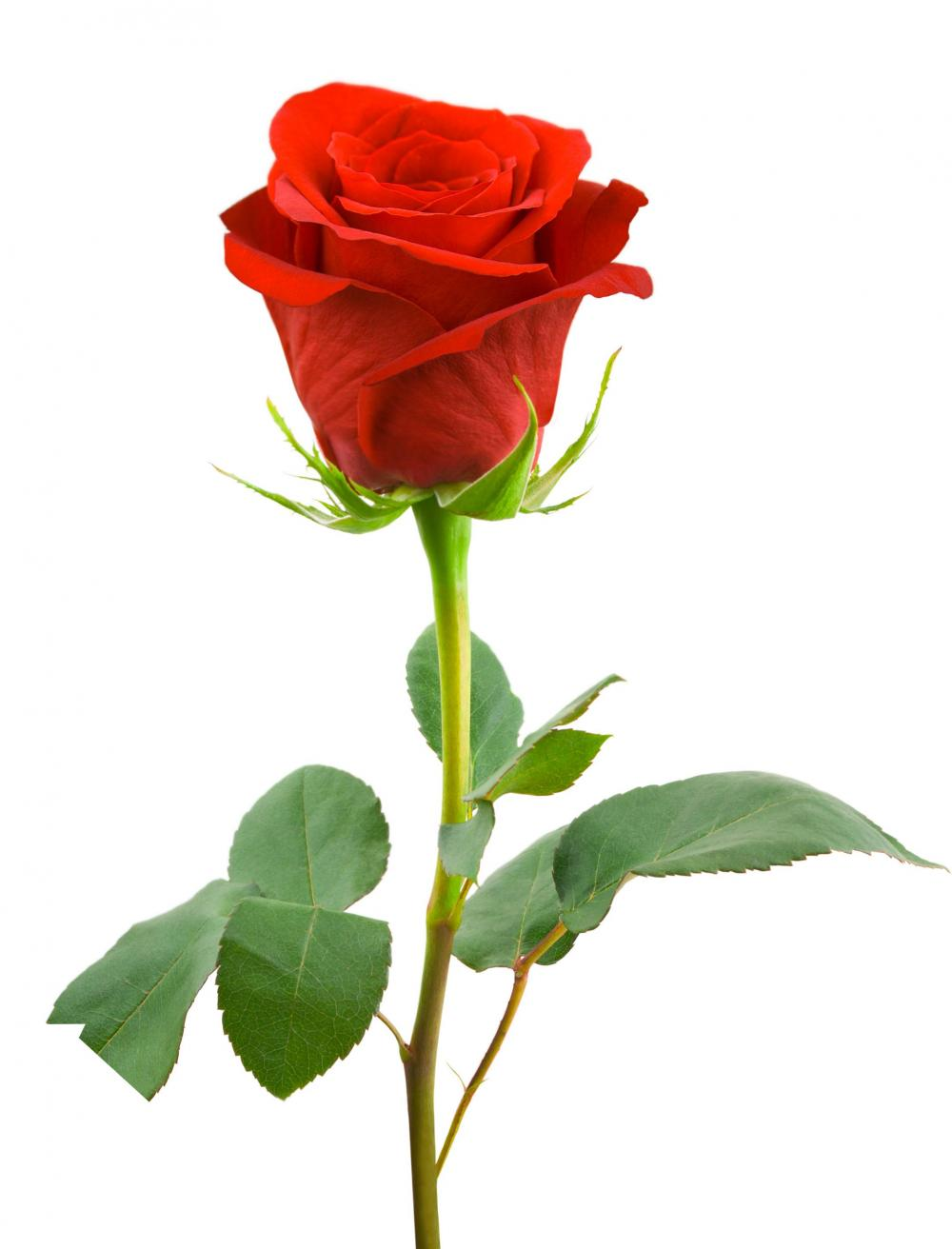 Anime One Red Rose Stalk