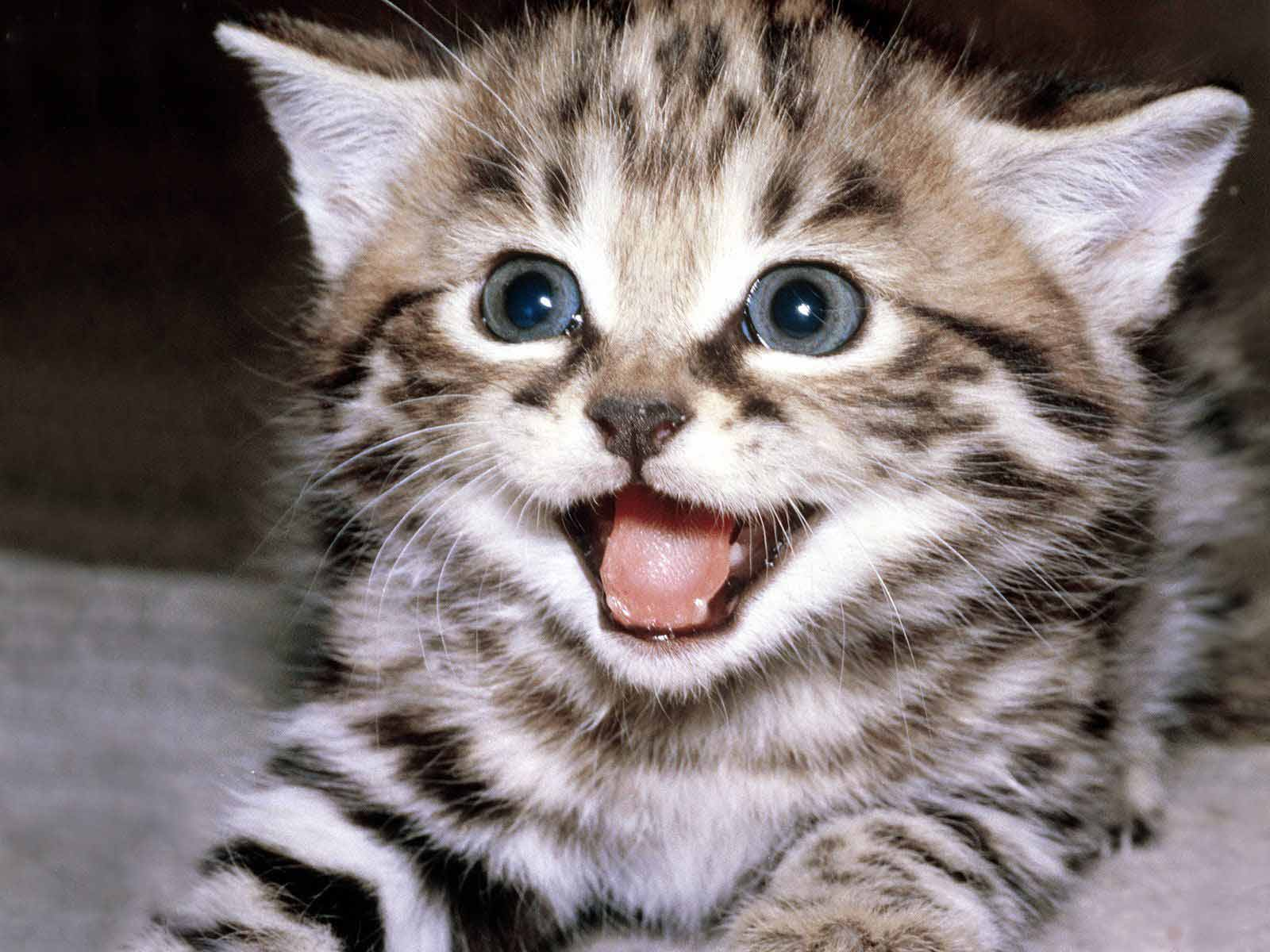 Playful Kitten with Open Mouth 318.82 Kb