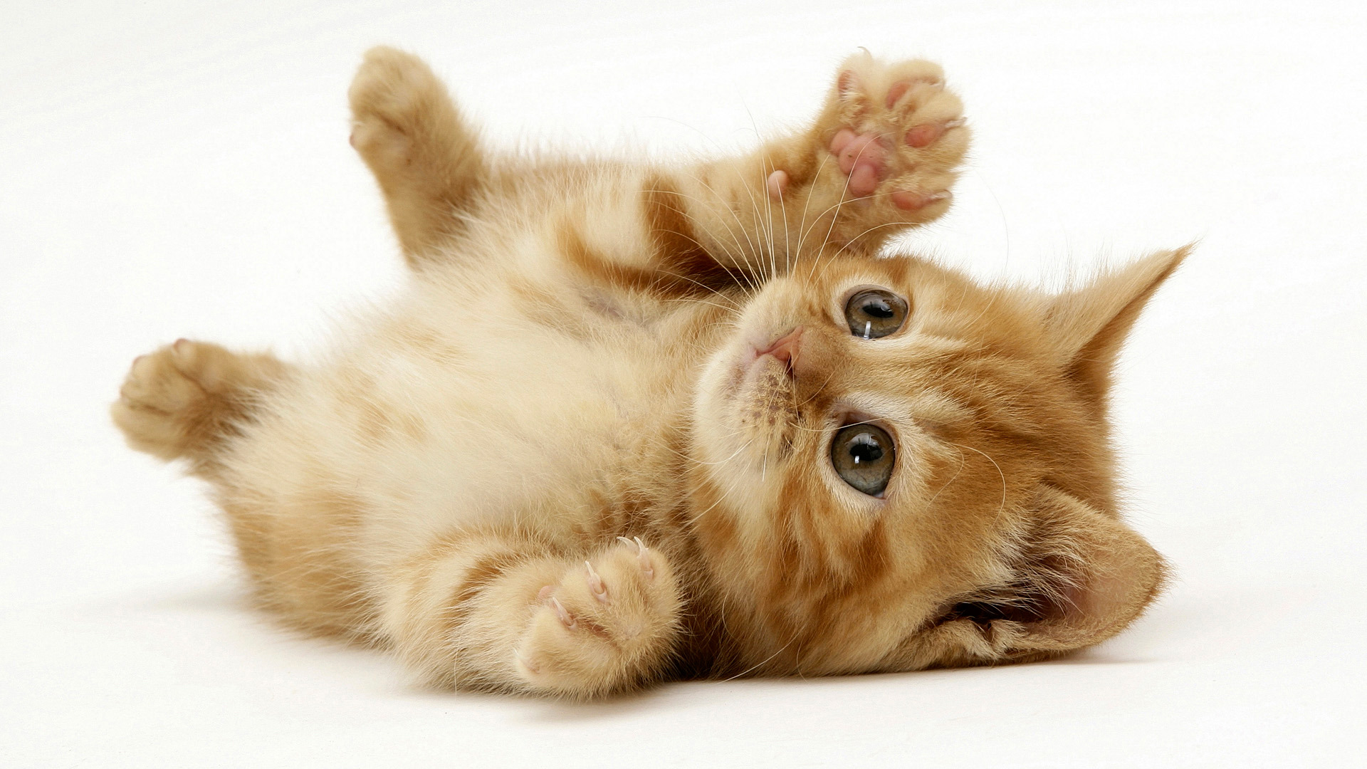 Playful Small Red Kitten 195.03 Kb